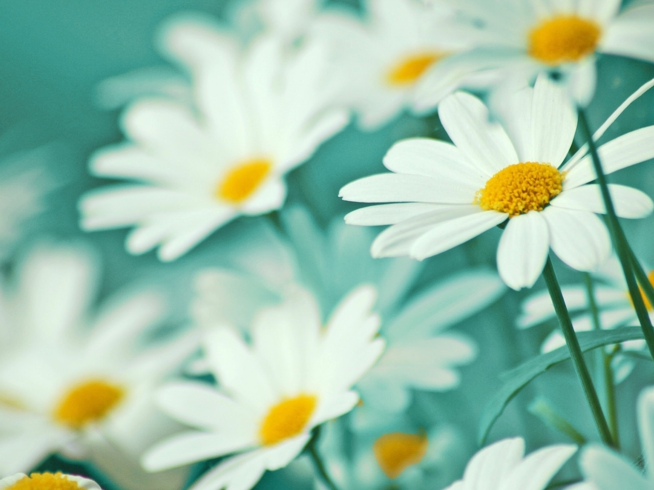 47478 download wallpaper Plants, Flowers, Camomile screensavers and pictures for free