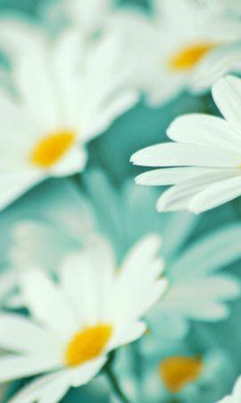 47478 télécharger le fond d'écran Plantes, Fleurs, Camomille - économiseurs d'écran et images gratuitement