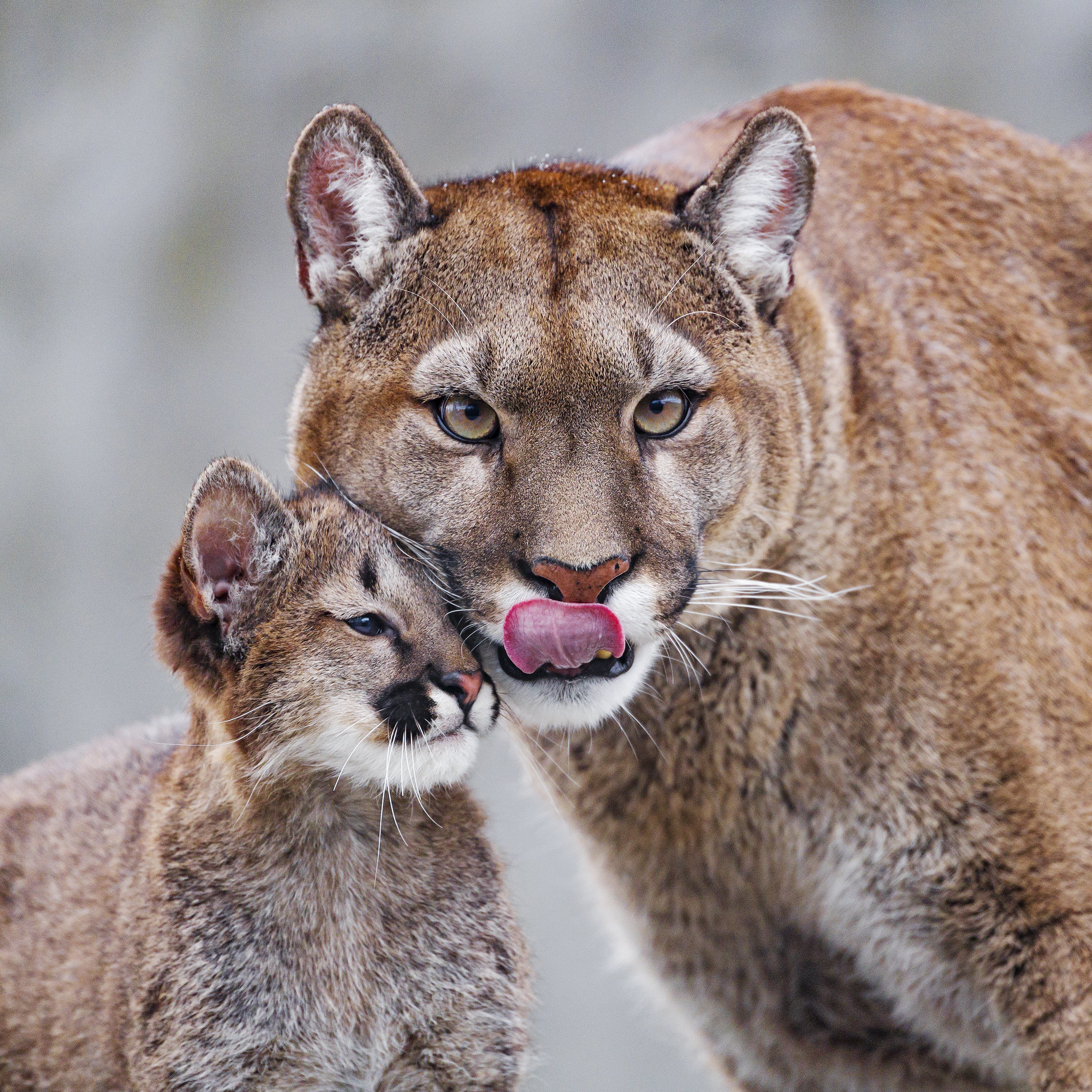 101581 download wallpaper Animals, Lioness, Predator, Young, Joey, Care screensavers and pictures for free