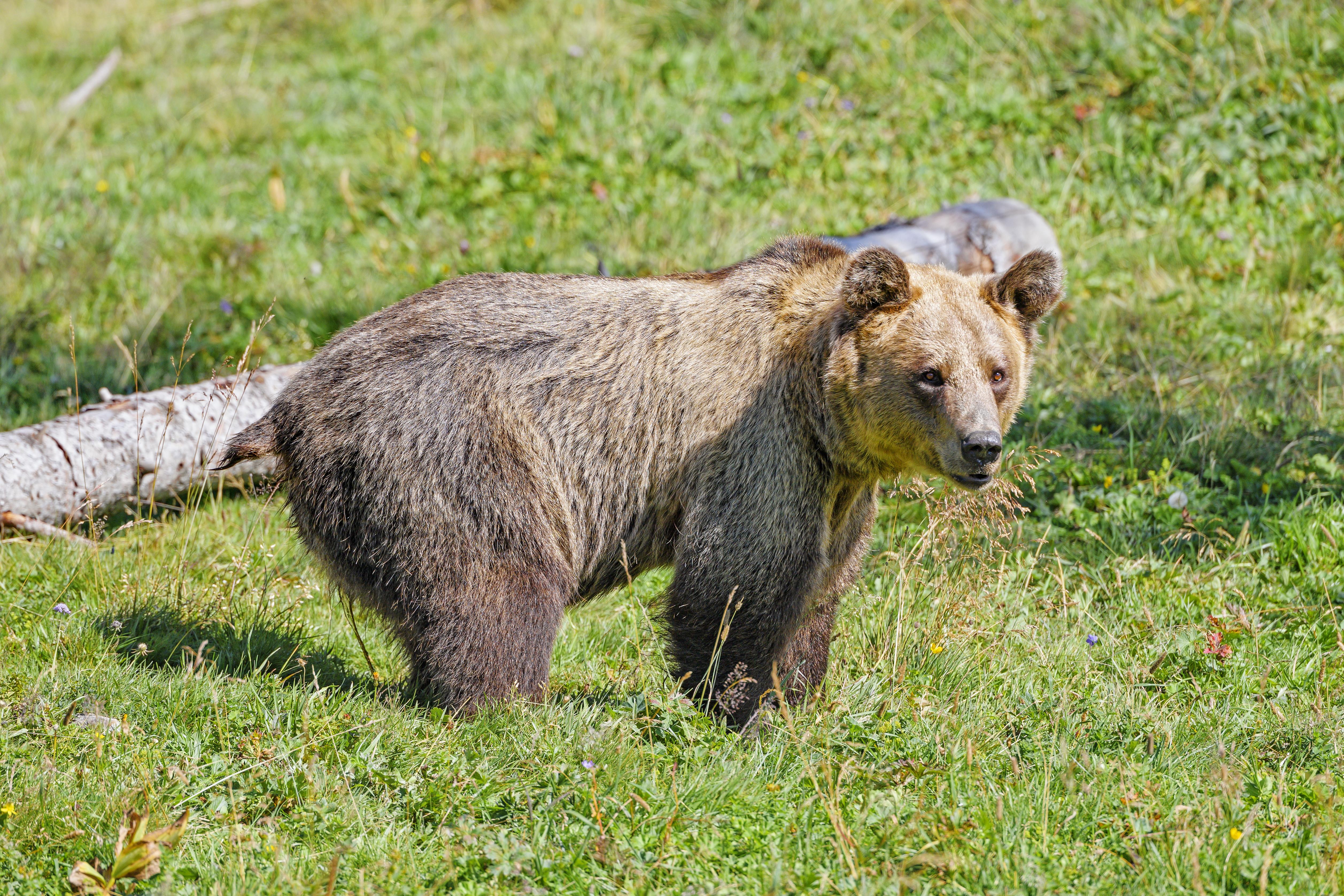 81195 скачать обои Животные, Медведь, Хищник, Трава, Животное - заставки и картинки бесплатно