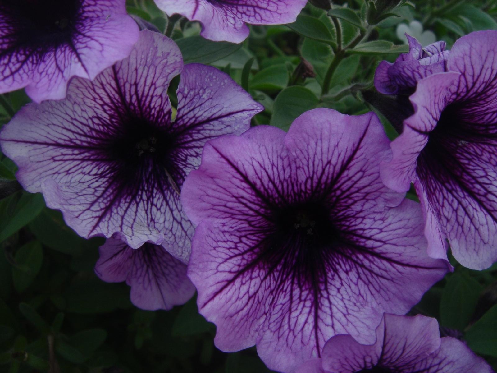 4803 Hintergrundbild herunterladen Pflanzen, Blumen, Bindweed - Bildschirmschoner und Bilder kostenlos