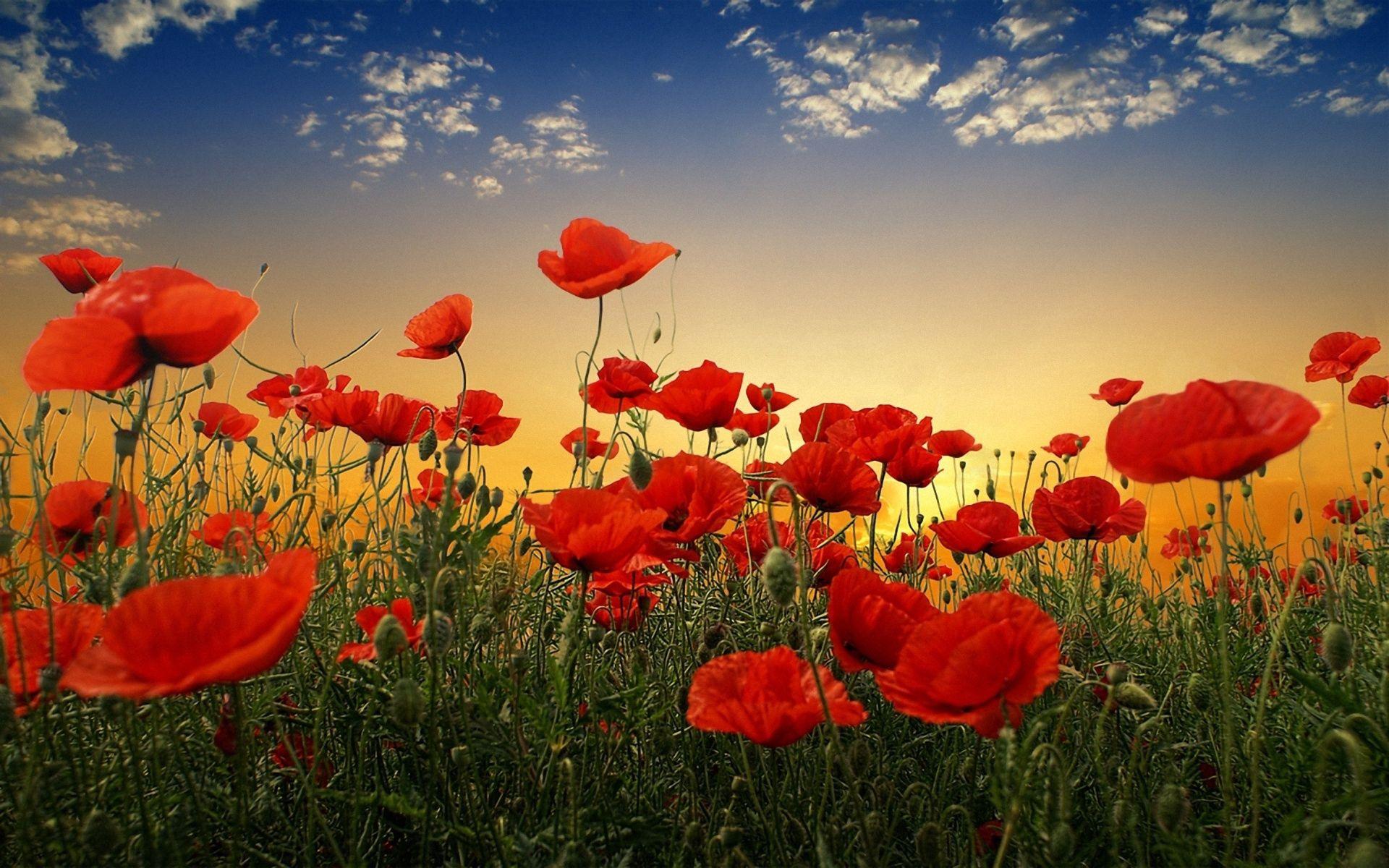 155873 скачать обои Цветы, Маки, Поле, Небо, Закат, Облака, Зелень - заставки и картинки бесплатно