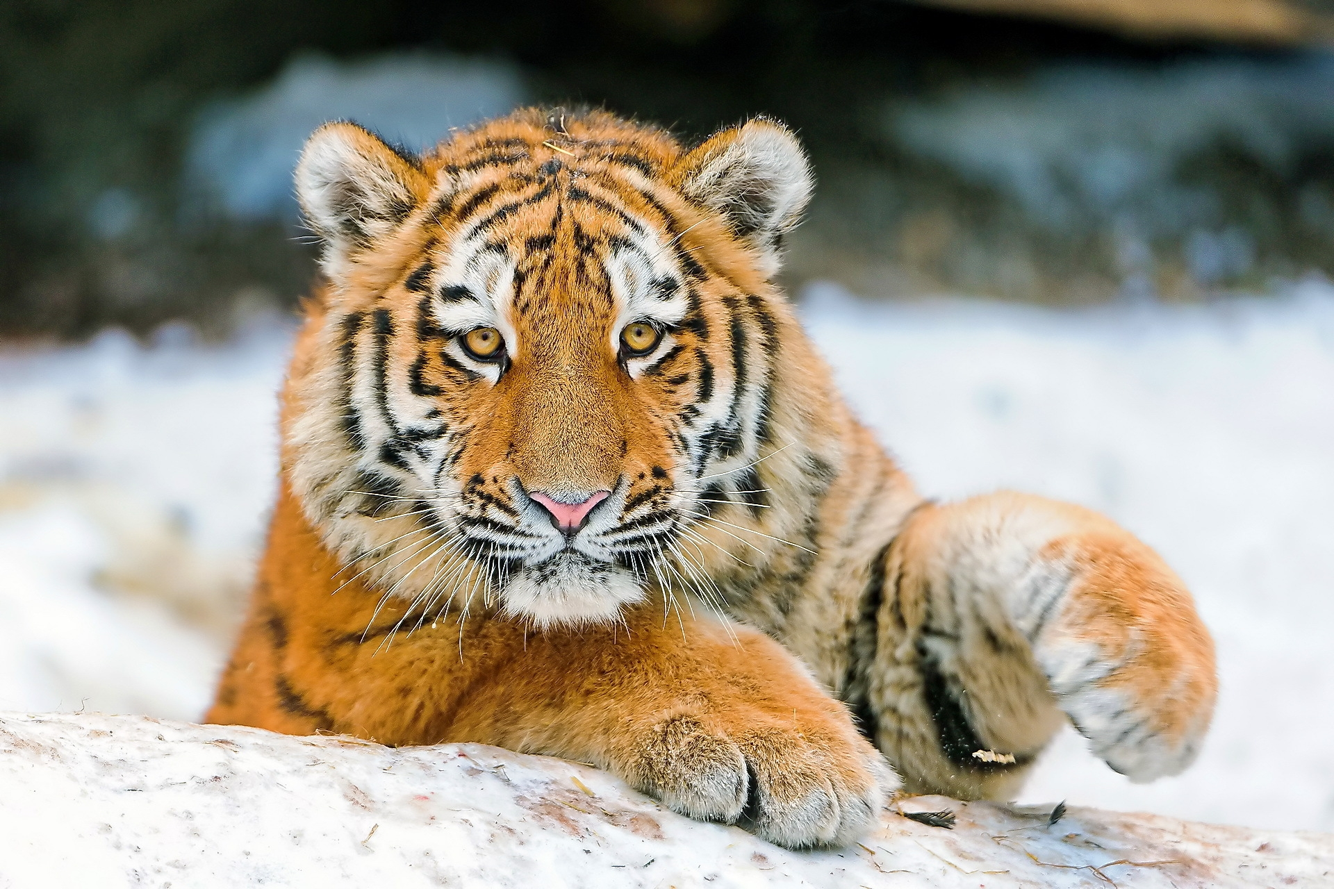 109647 download wallpaper Animals, Tiger, Young, Joey, Muzzle, Paw screensavers and pictures for free
