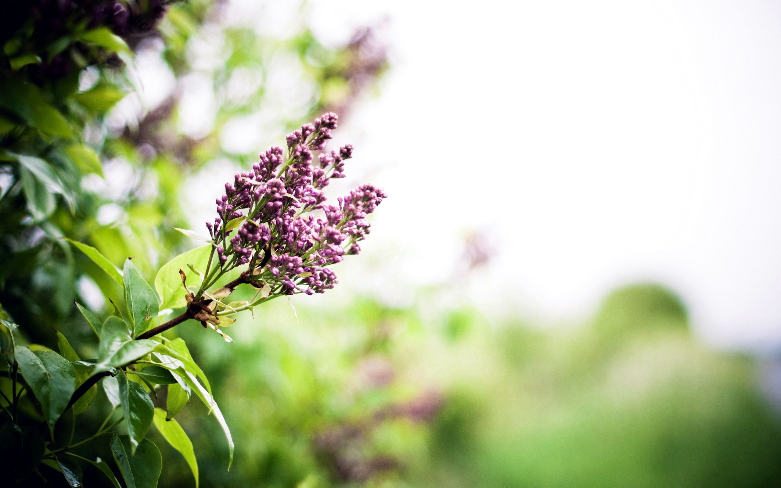 117468 download wallpaper Nature, Flowers, Lilac, Branch, Spring screensavers and pictures for free