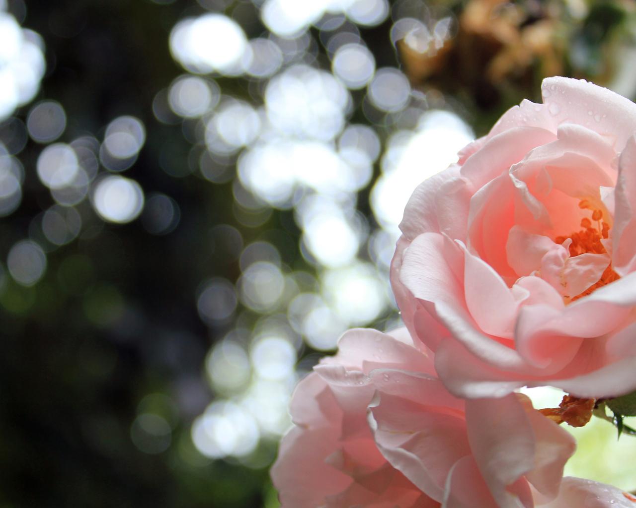 15391 descargar fondo de pantalla Plantas, Flores, Roses: protectores de pantalla e imágenes gratis