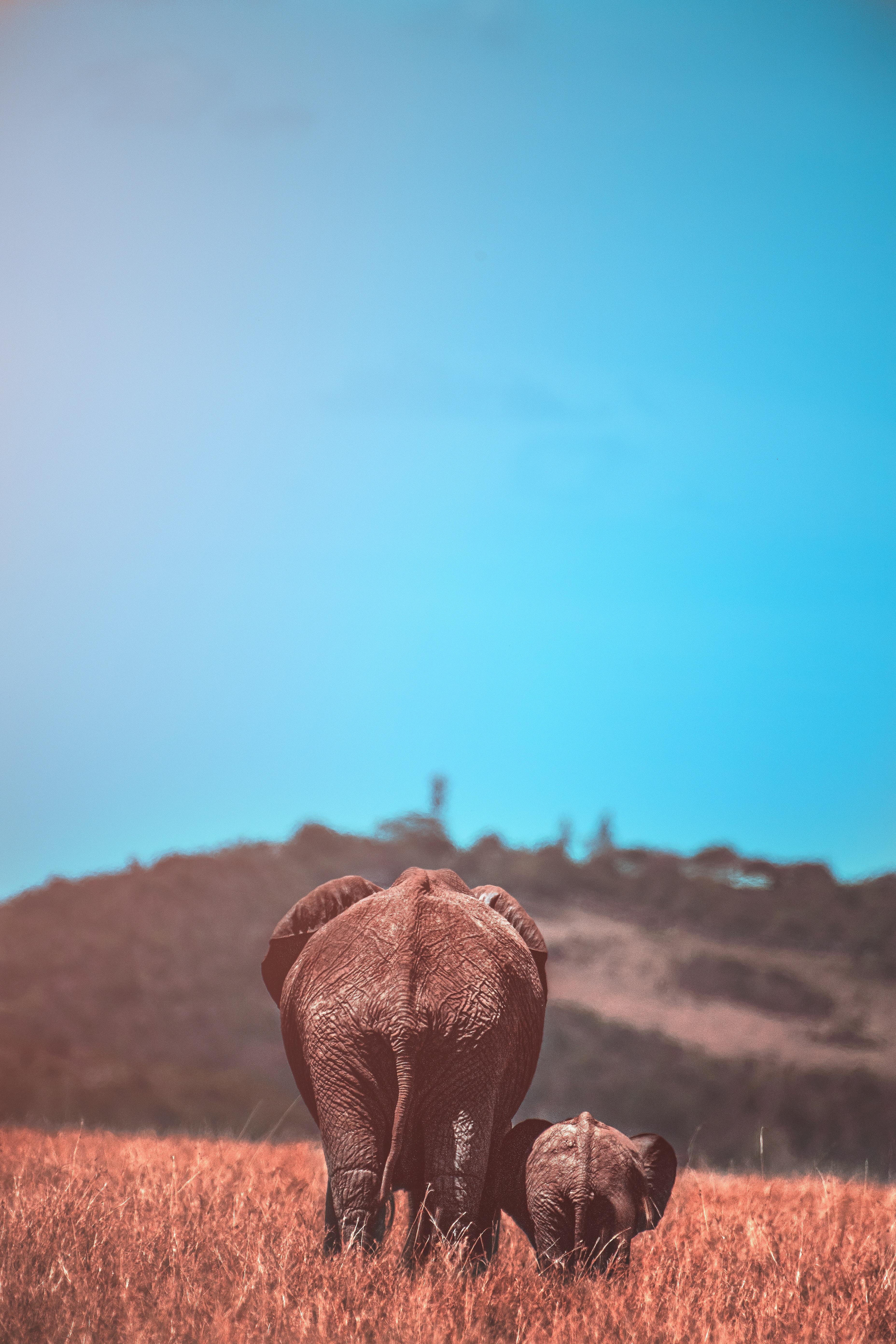 68664 скачать обои Животные, Слон, Детеныш, Дикая Природа, Слоны - заставки и картинки бесплатно