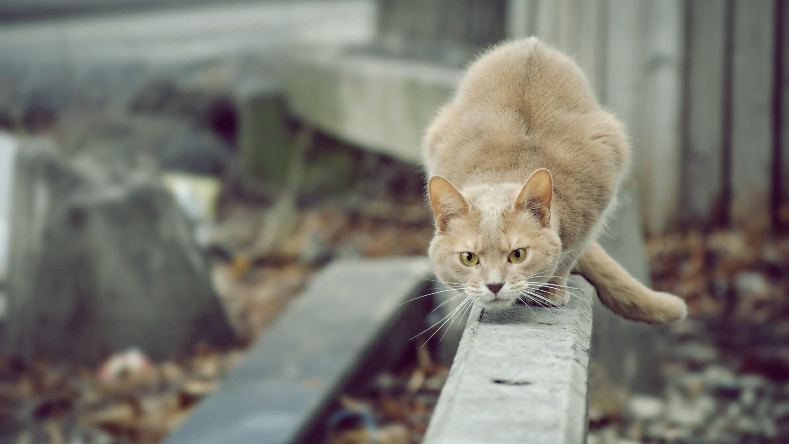 149104 download wallpaper Animals, Cat, Hunting, Hunt, Attention, Street screensavers and pictures for free