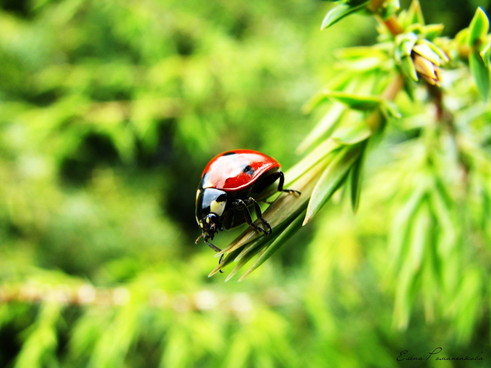 7314 download wallpaper Nature, Insects, Ladybugs screensavers and pictures for free