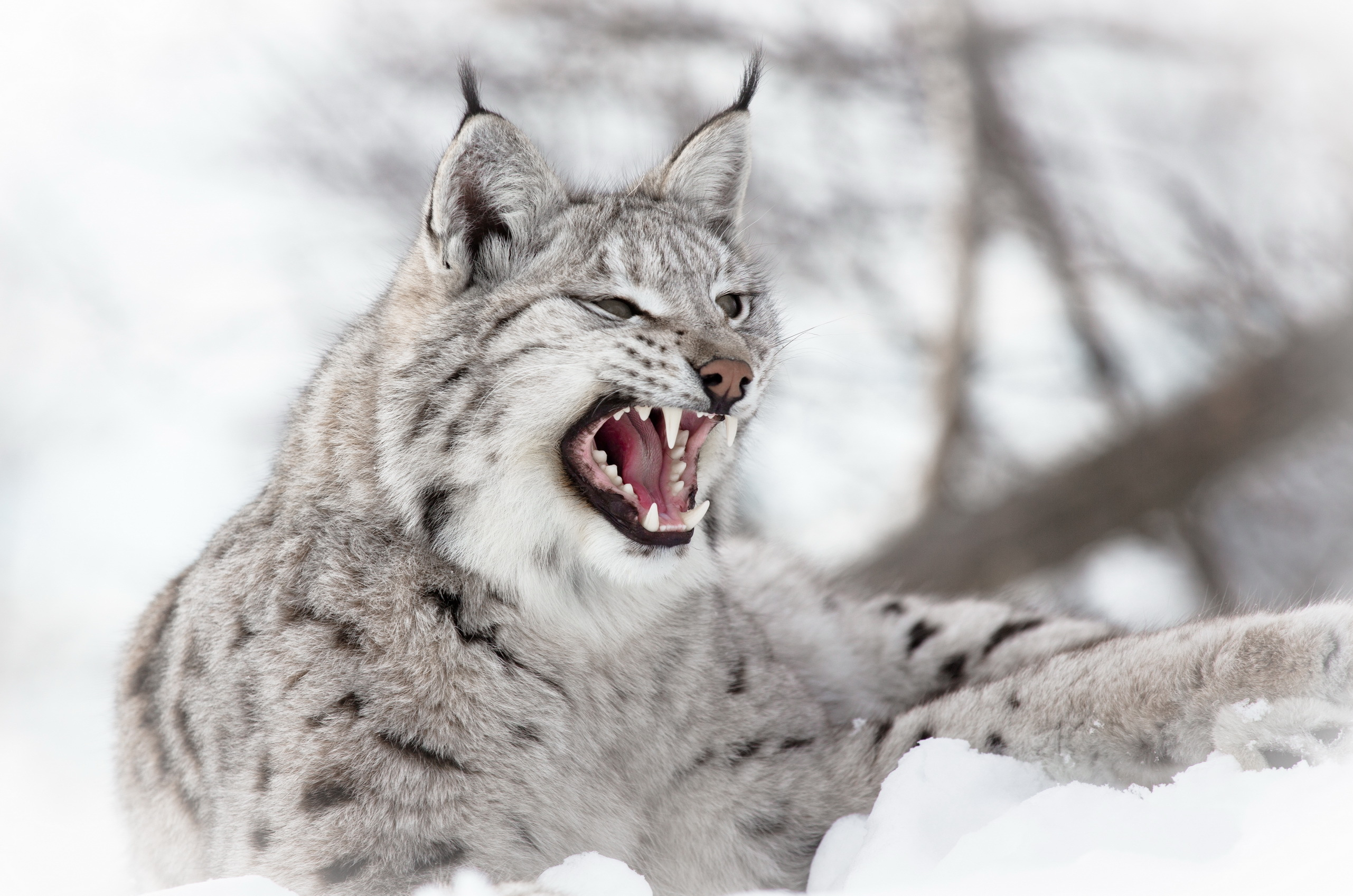 51868 download wallpaper Animals, Snow, Iris, Aggression, Predator screensavers and pictures for free