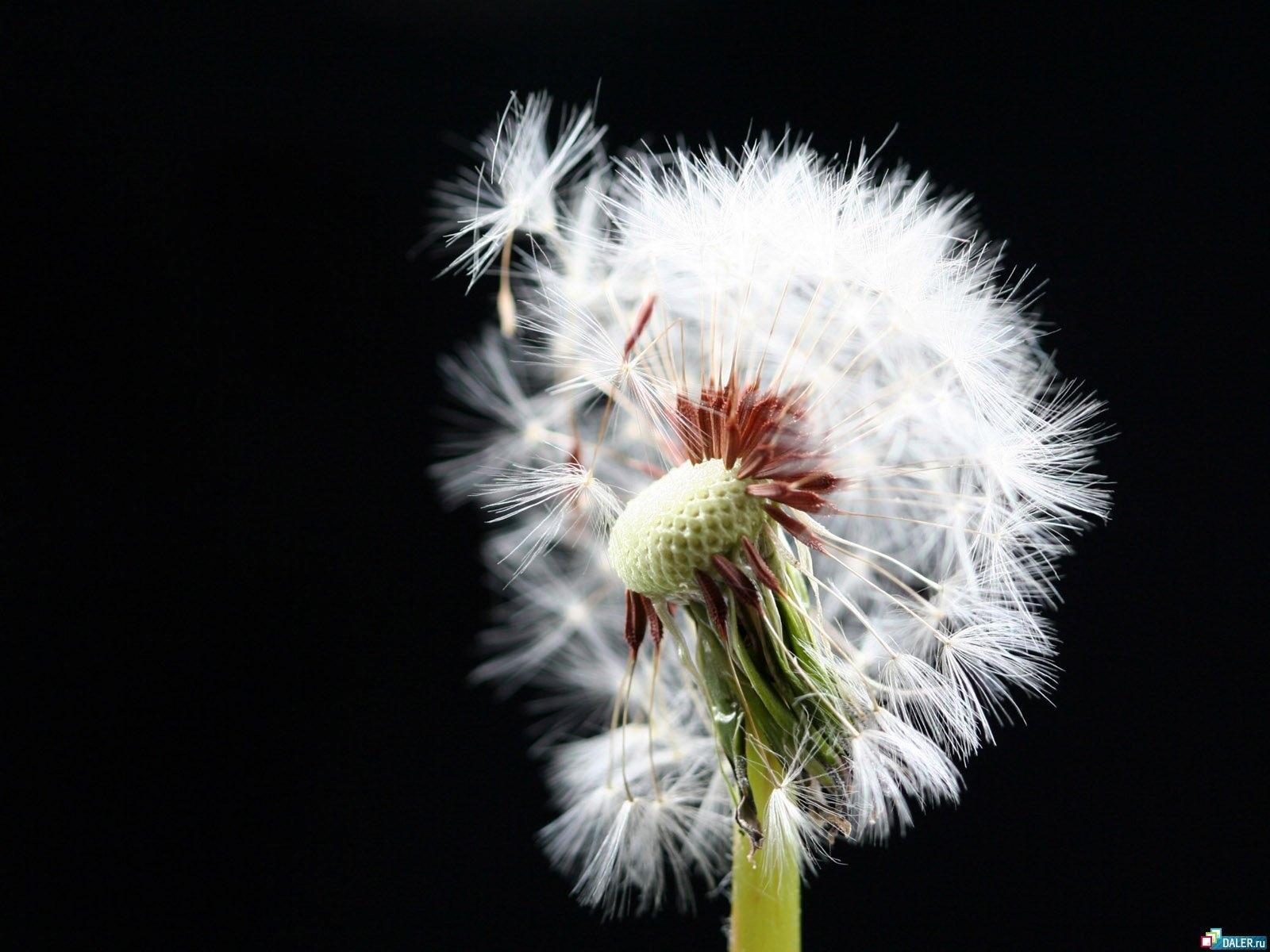 2688 скачать обои Растения, Одуванчики - заставки и картинки бесплатно