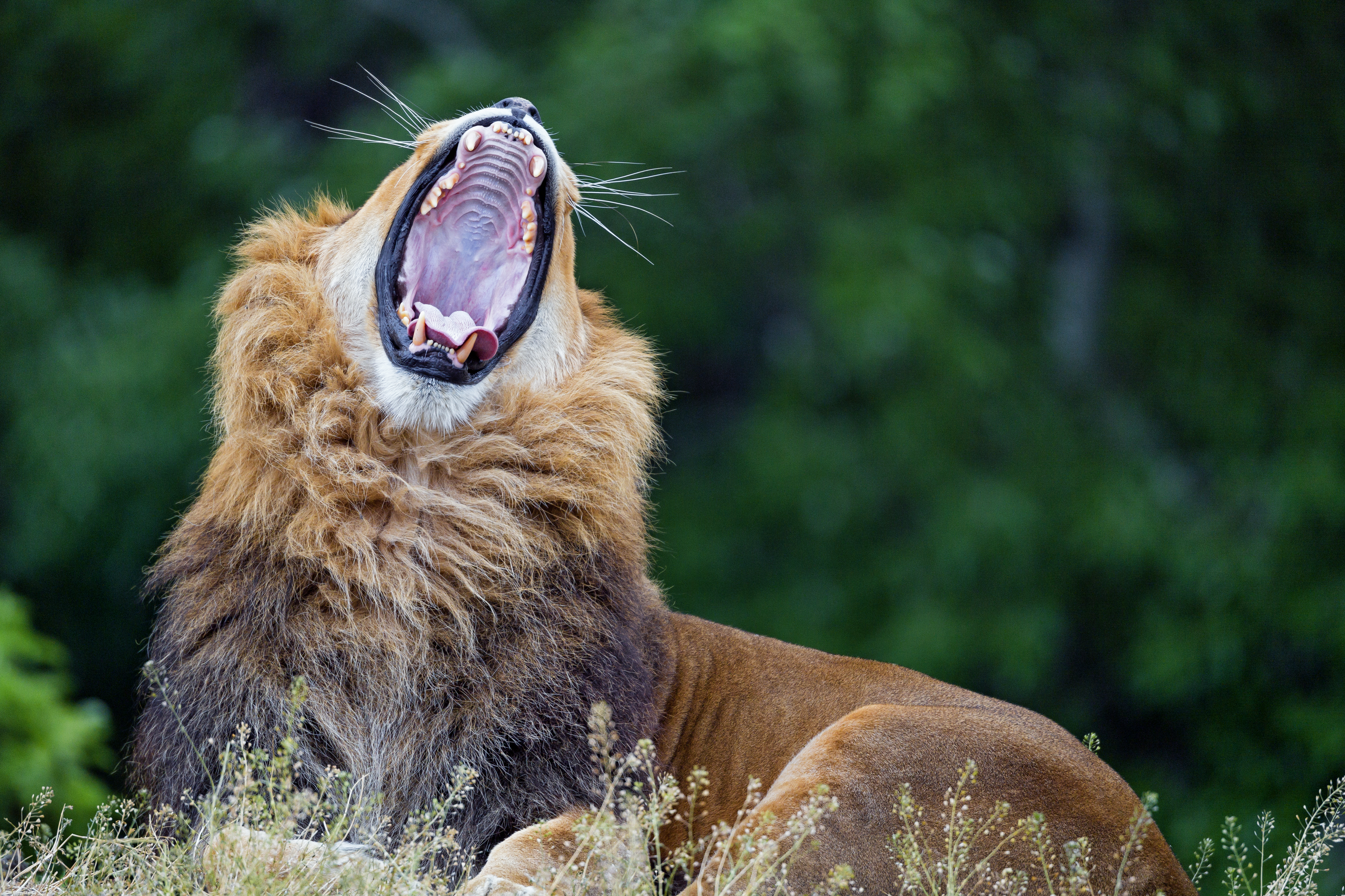 146204 download wallpaper Animals, Lion, To Yawn, Yawn, Predator, Big Cat, Wildlife screensavers and pictures for free