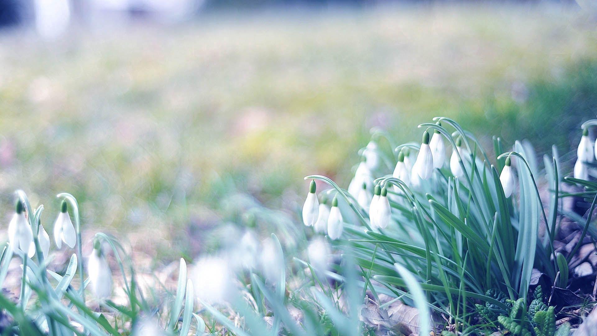 97856 Заставки и Обои Подснежники на телефон. Скачать Цветы, Трава, Подснежники, Растение, Макро картинки бесплатно