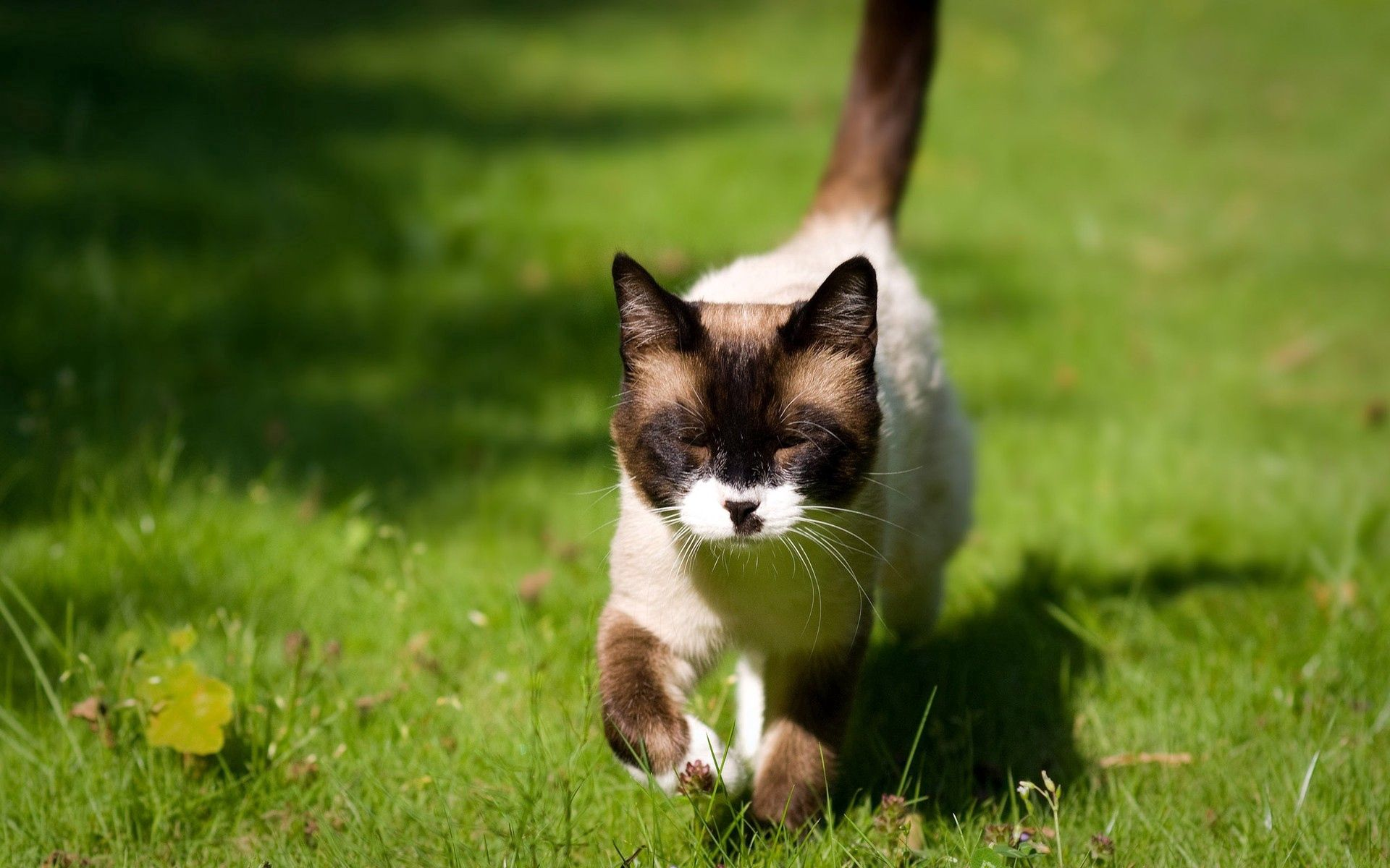 74443 download wallpaper Animals, Cat, Squint, Blink, Grass, Siamese, Stroll, Sunlight screensavers and pictures for free