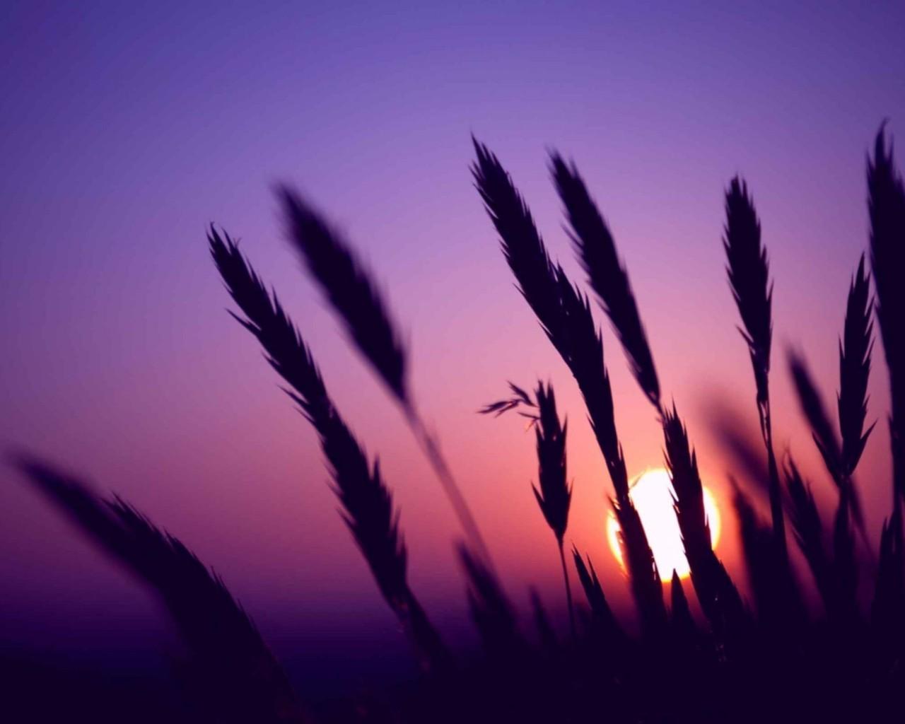 16329 скачать обои Пейзаж, Закат, Солнце, Пшеница - заставки и картинки бесплатно