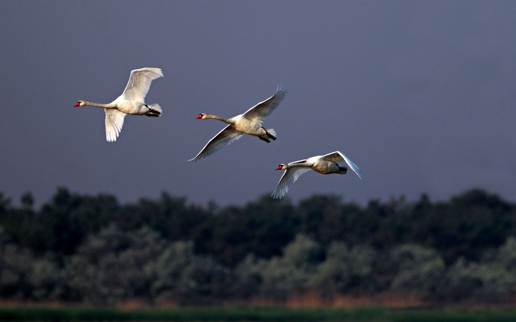 132374 download wallpaper Animals, Swans, Flight, Sky, Mainly Cloudy, Overcast, Birds screensavers and pictures for free