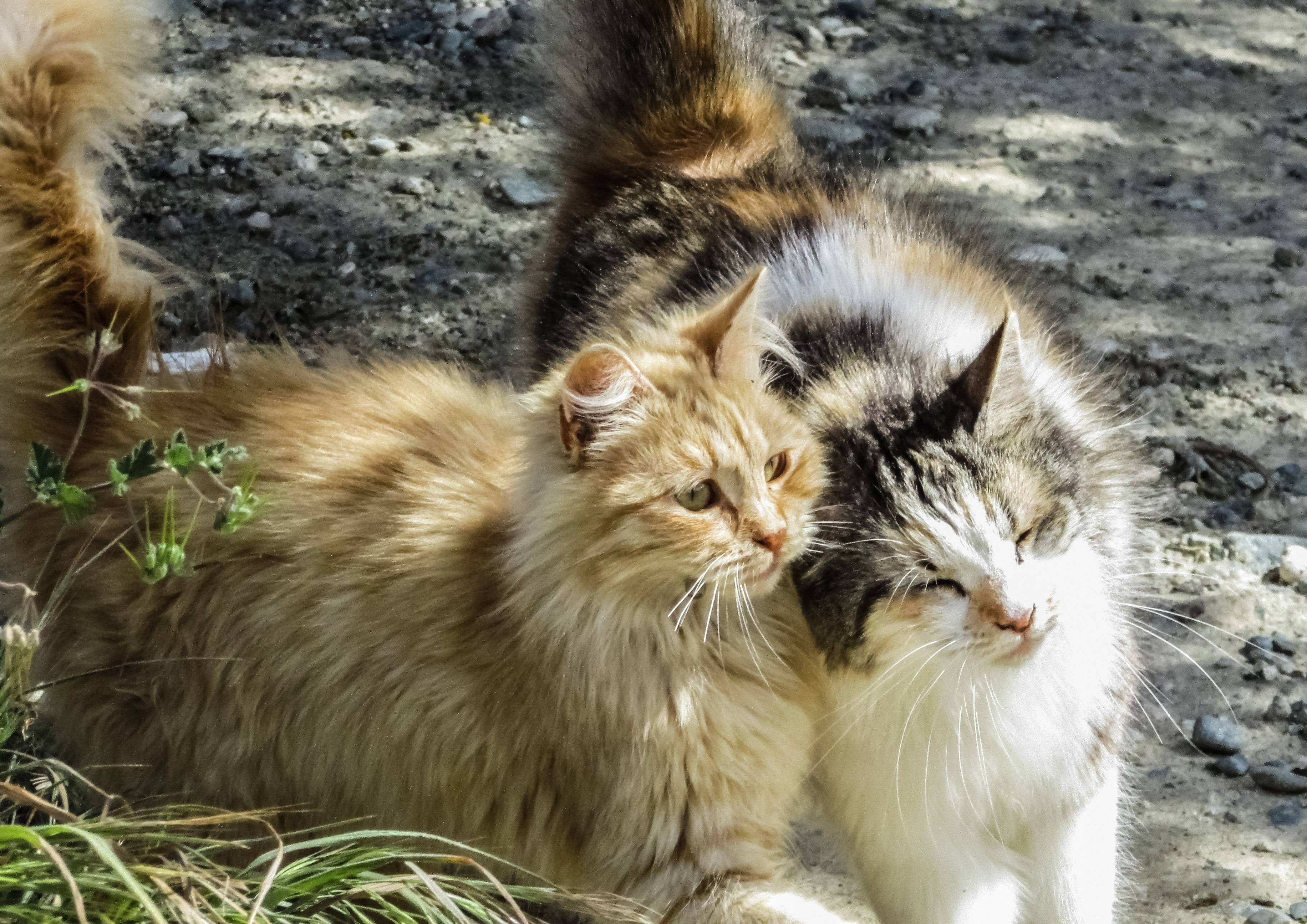 75932 Screensavers and Wallpapers Cats for phone. Download Animals, Cats, Couple, Pair, Fluffy pictures for free