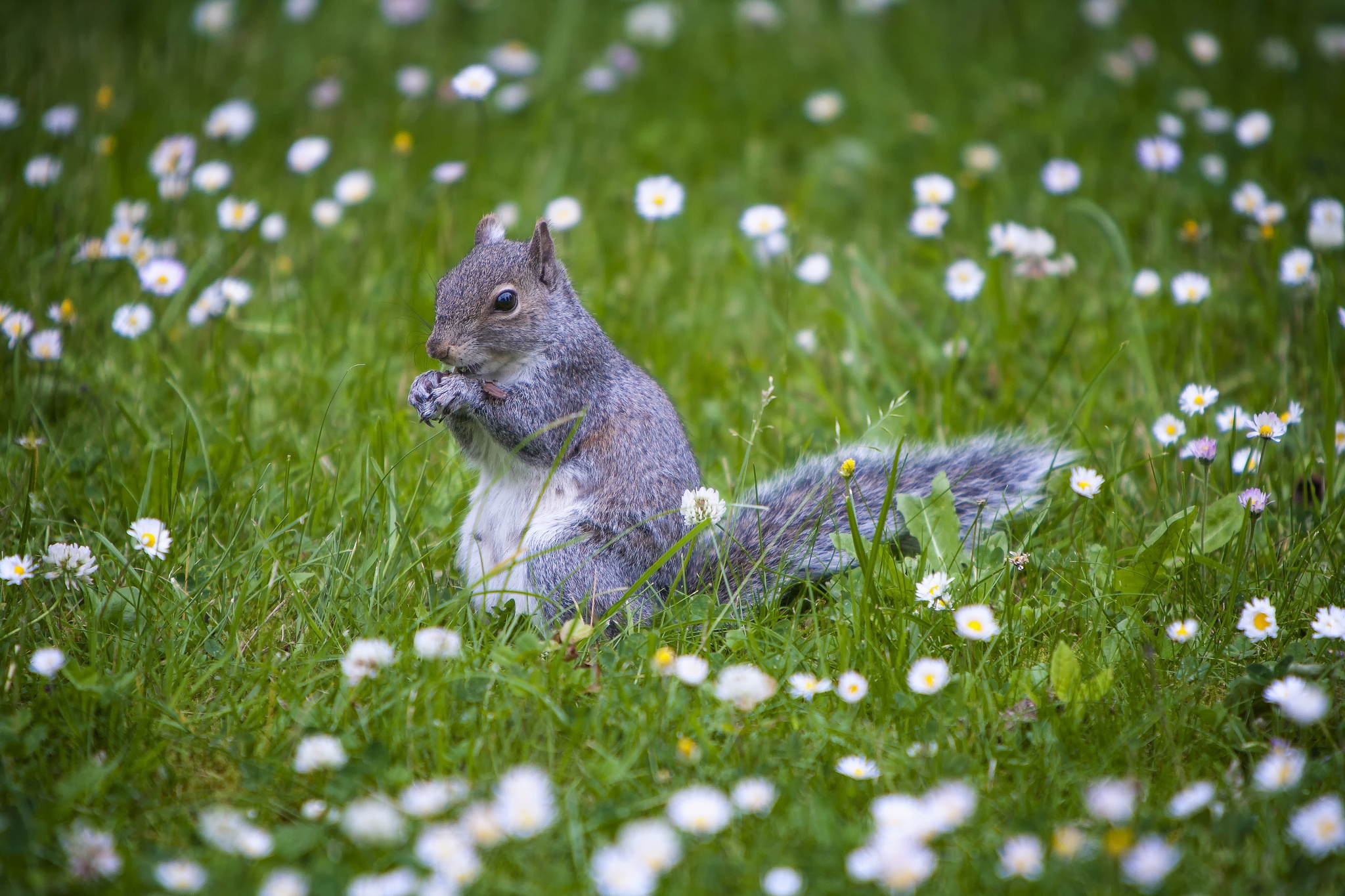 134625 download wallpaper Animals, Squirrel, Animal, Grass, Stroll screensavers and pictures for free