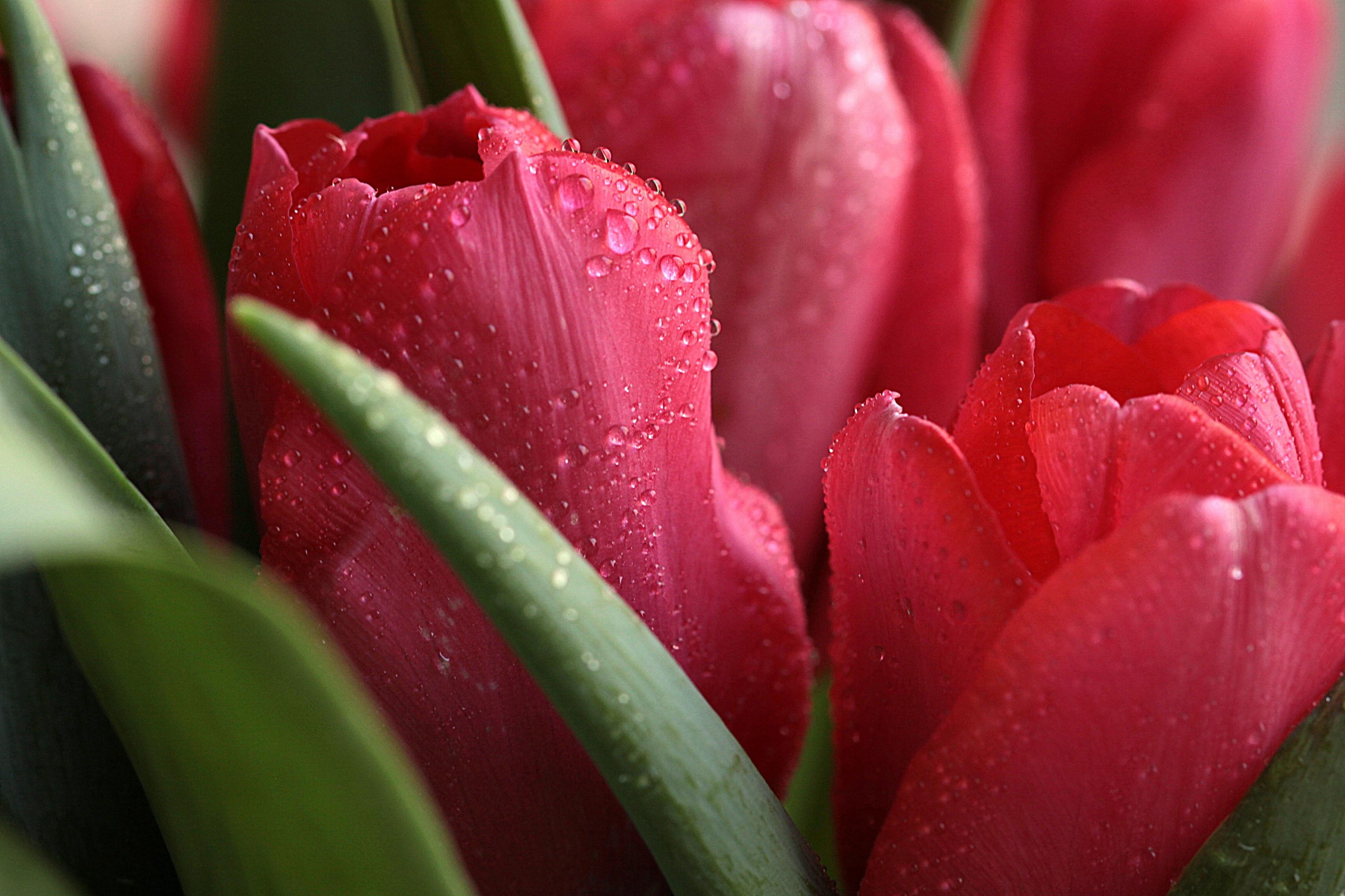 114317 descargar fondo de pantalla Macro, Planta, Drops, Cogollos, Brotes, Flores, Tulipanes: protectores de pantalla e imágenes gratis