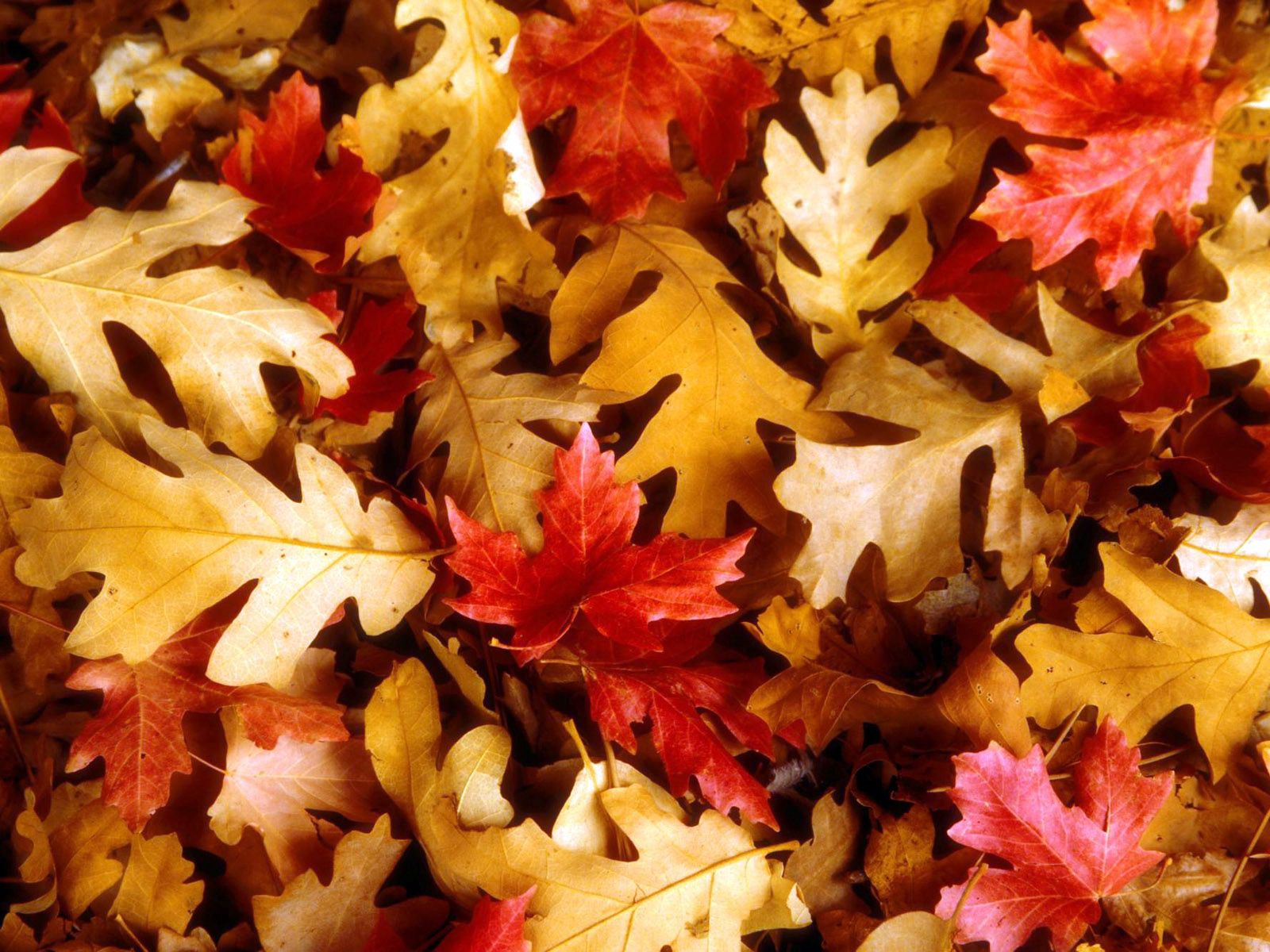 132558 download wallpaper Nature, Leaves, Oak, Maple, Autumn screensavers and pictures for free