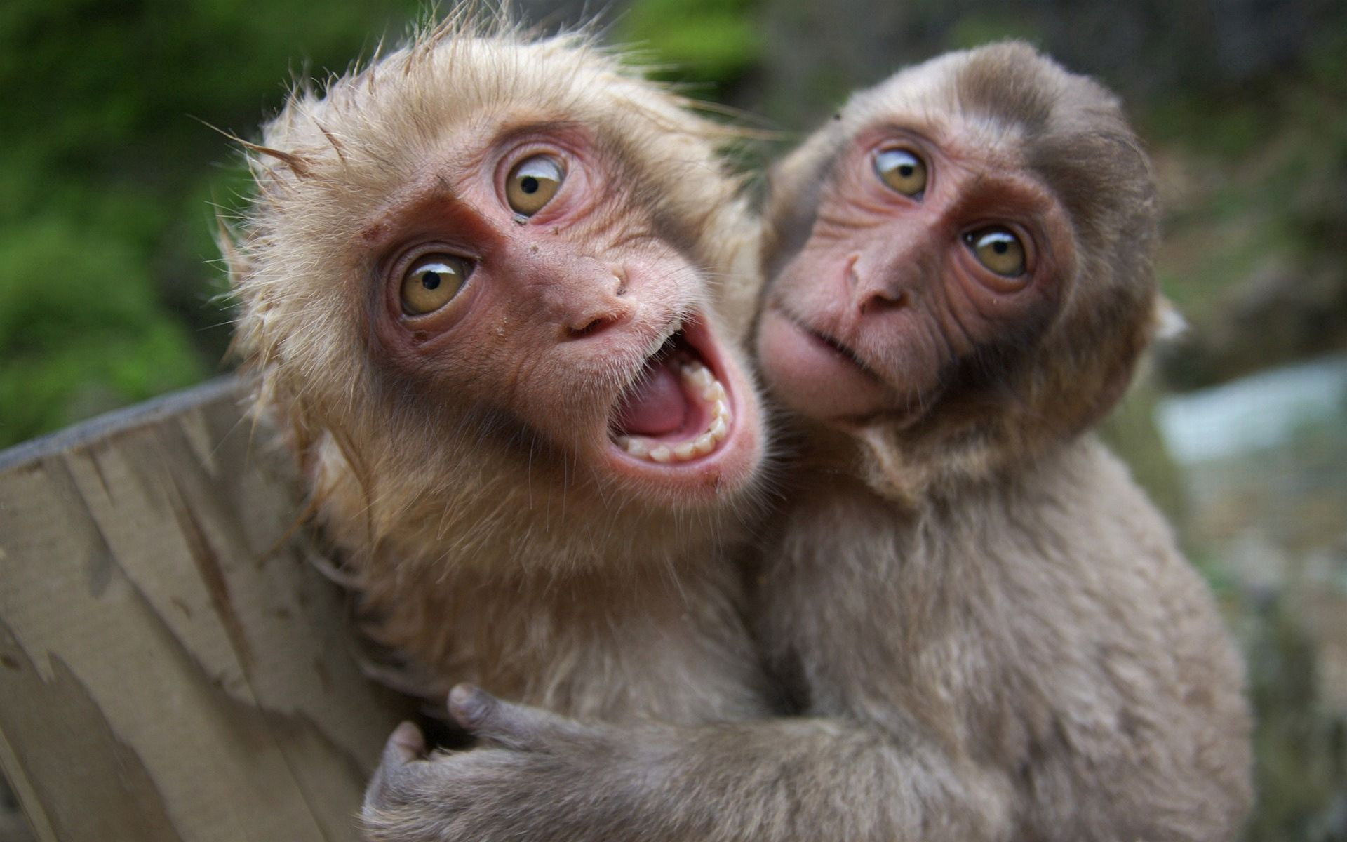 100822 Screensavers and Wallpapers Monkeys for phone. Download Animals, Monkeys, Couple, Pair, Playful, Scream, Cry pictures for free