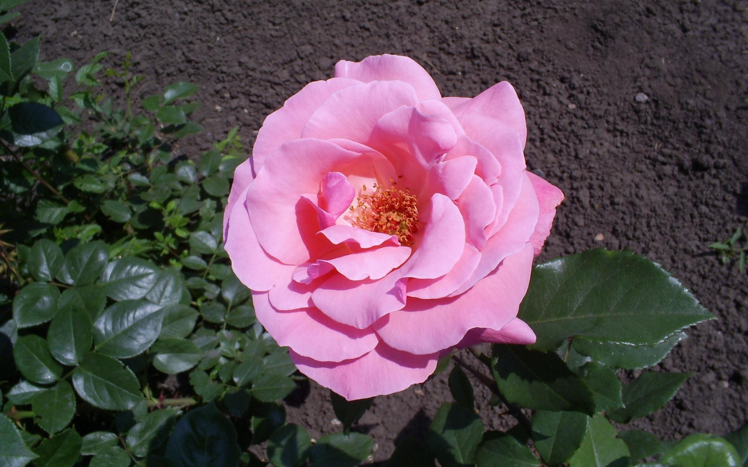 5865 скачать обои Растения, Цветы, Розы - заставки и картинки бесплатно