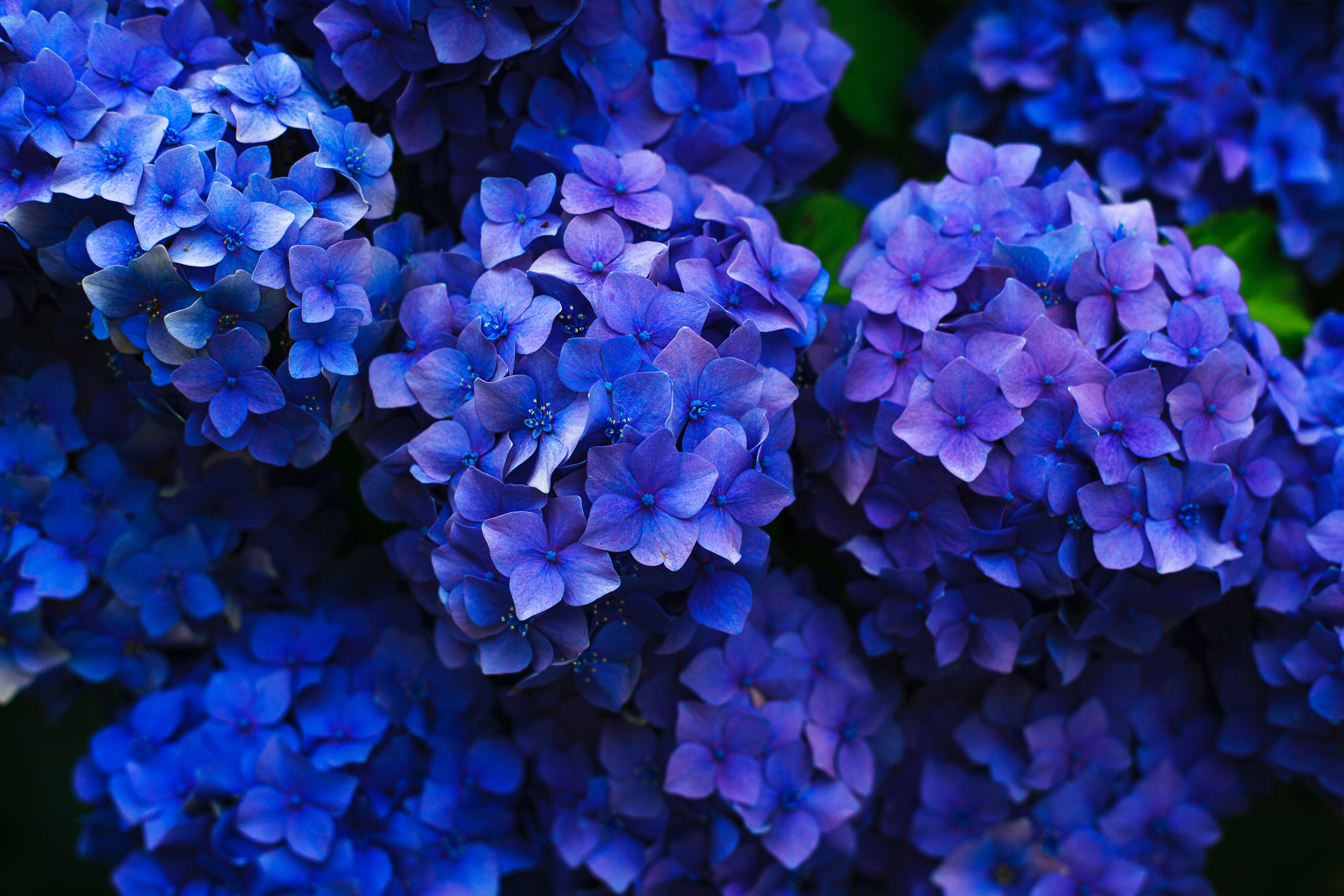 71905 Screensavers and Wallpapers Flower Bed for phone. Download Flowers, Bloom, Flowering, Flower Bed, Flowerbed, Garden, Hydrangea, Inflorescences, Inflorescence pictures for free