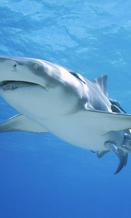 21301 download wallpaper Animals, Sharks, Fishes screensavers and pictures for free