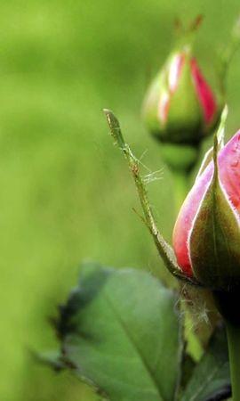 8274 скачать обои Растения, Цветы, Розы - заставки и картинки бесплатно