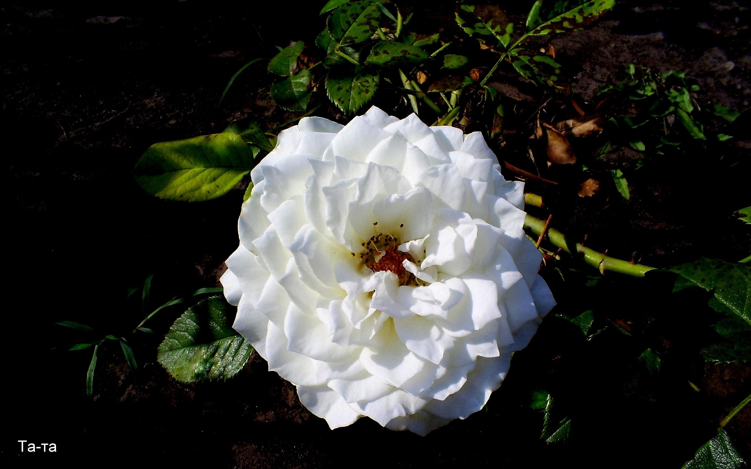 7754 скачать обои Растения, Цветы, Розы - заставки и картинки бесплатно