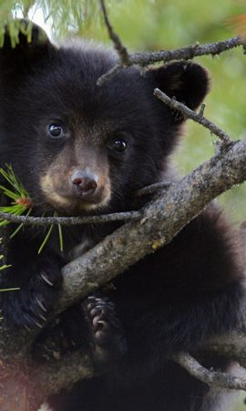 18565 download wallpaper Animals, Bears screensavers and pictures for free