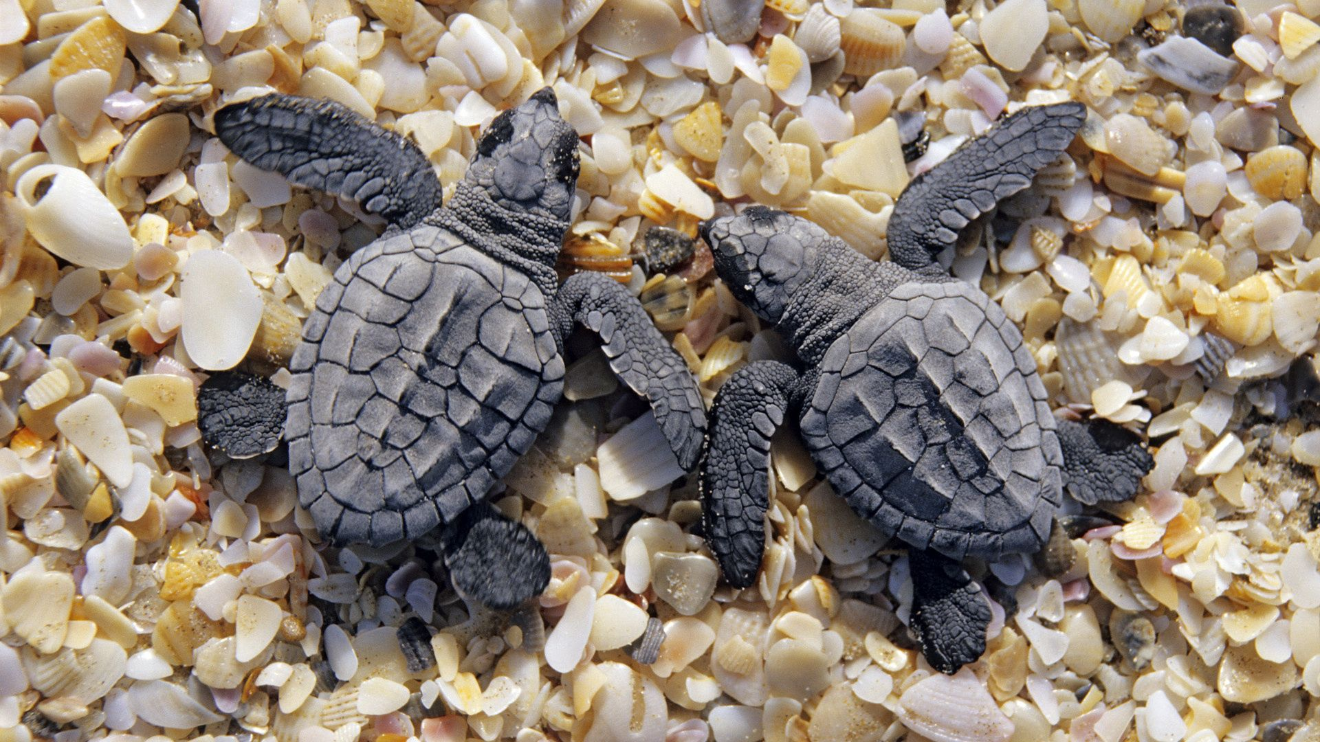 149231 download wallpaper Animals, Turtles, Stones, Beach, Carapace, Shell screensavers and pictures for free