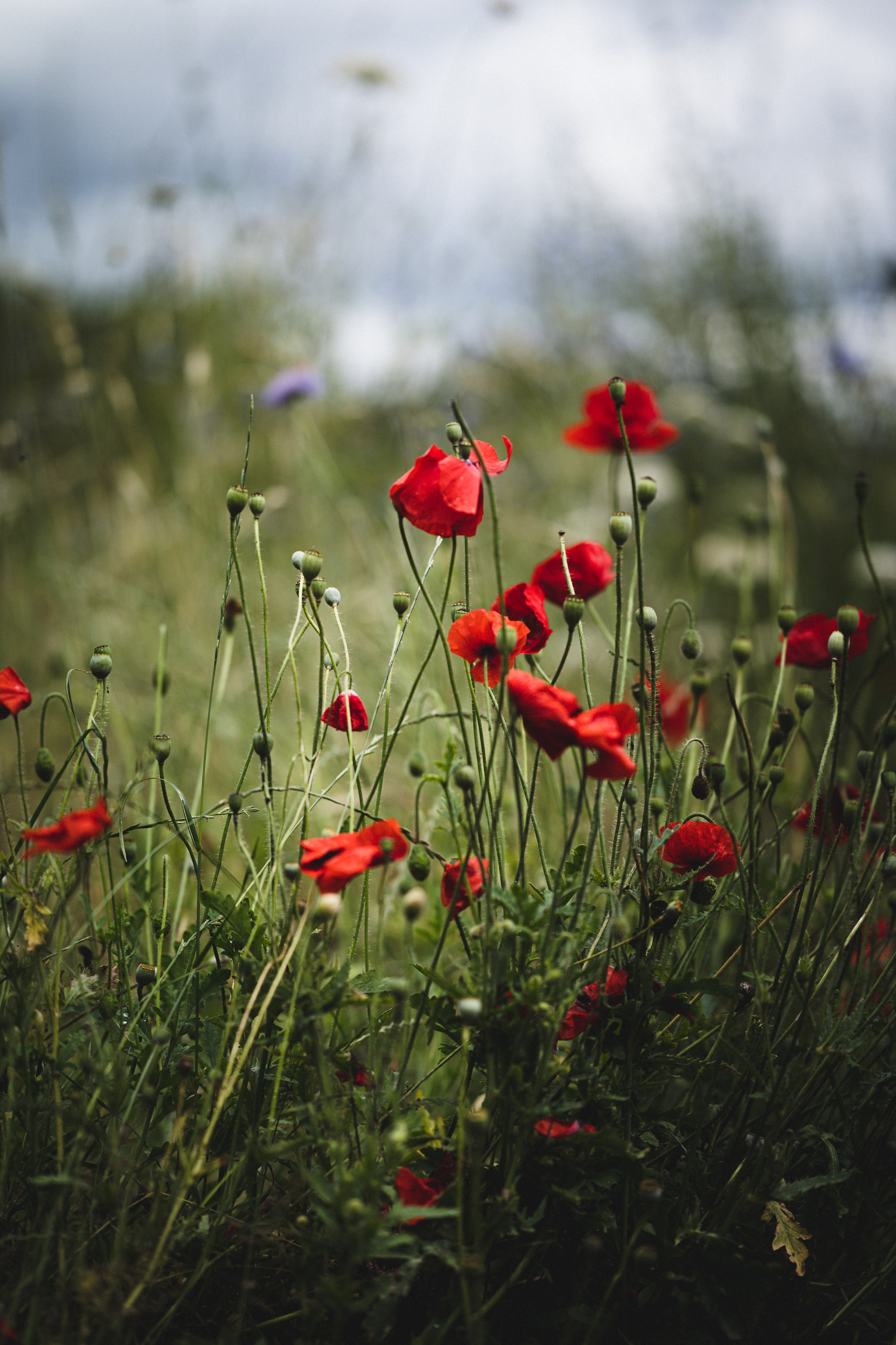 127886 Screensavers and Wallpapers Poppies for phone. Download Flowers, Poppies, Summer, Bloom, Flowering pictures for free