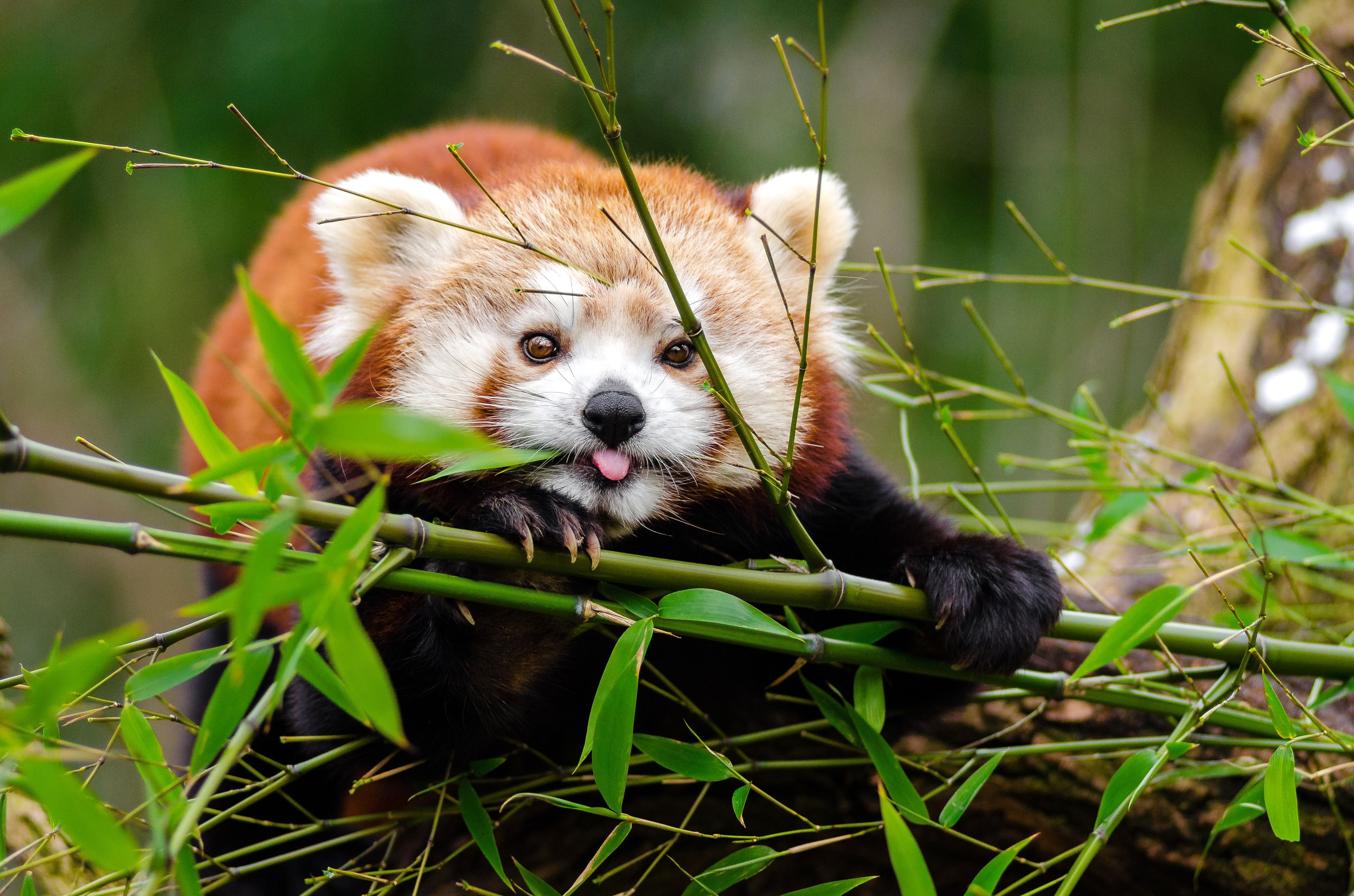 88292 download wallpaper Animals, Little Panda, Small Panda, Panda, Protruding Tongue, Tongue Stuck Out, Nice, Sweetheart, Funny, Bamboo, Branches screensavers and pictures for free