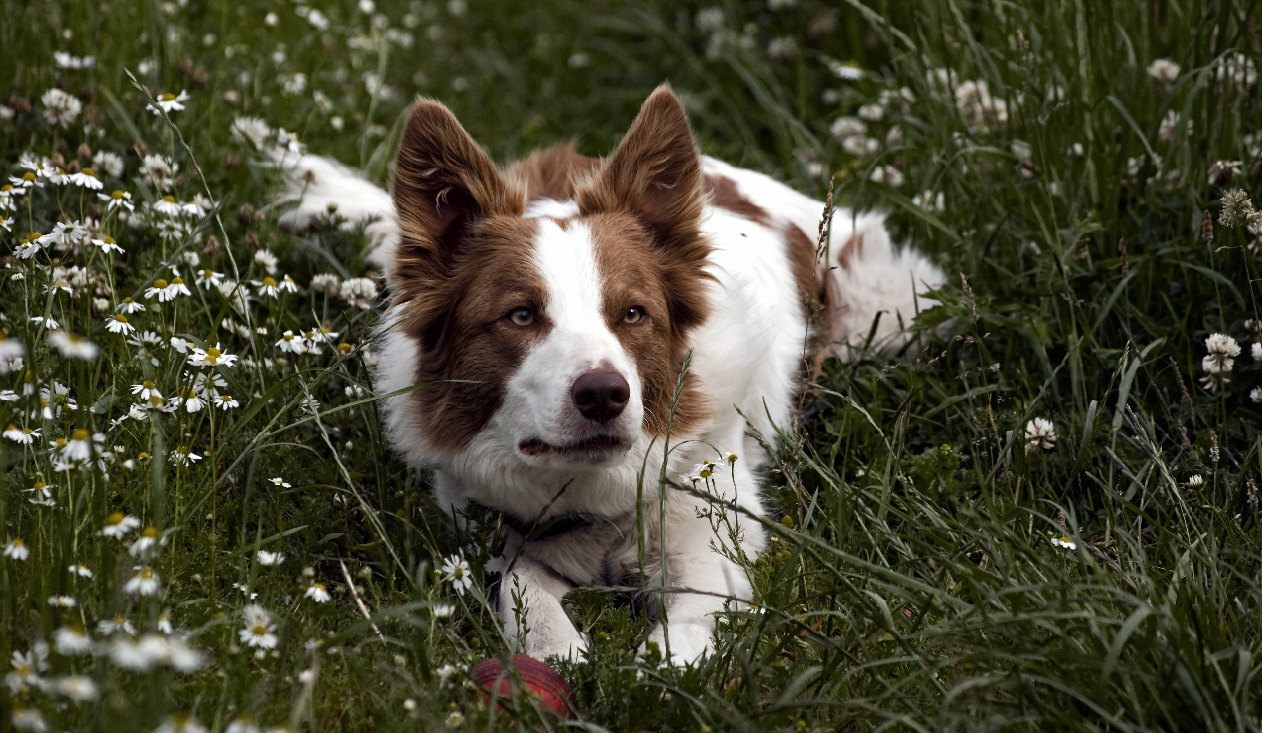 150466 download wallpaper Animals, Dog, Grass, To Lie Down, Lie, Spotted, Spotty screensavers and pictures for free