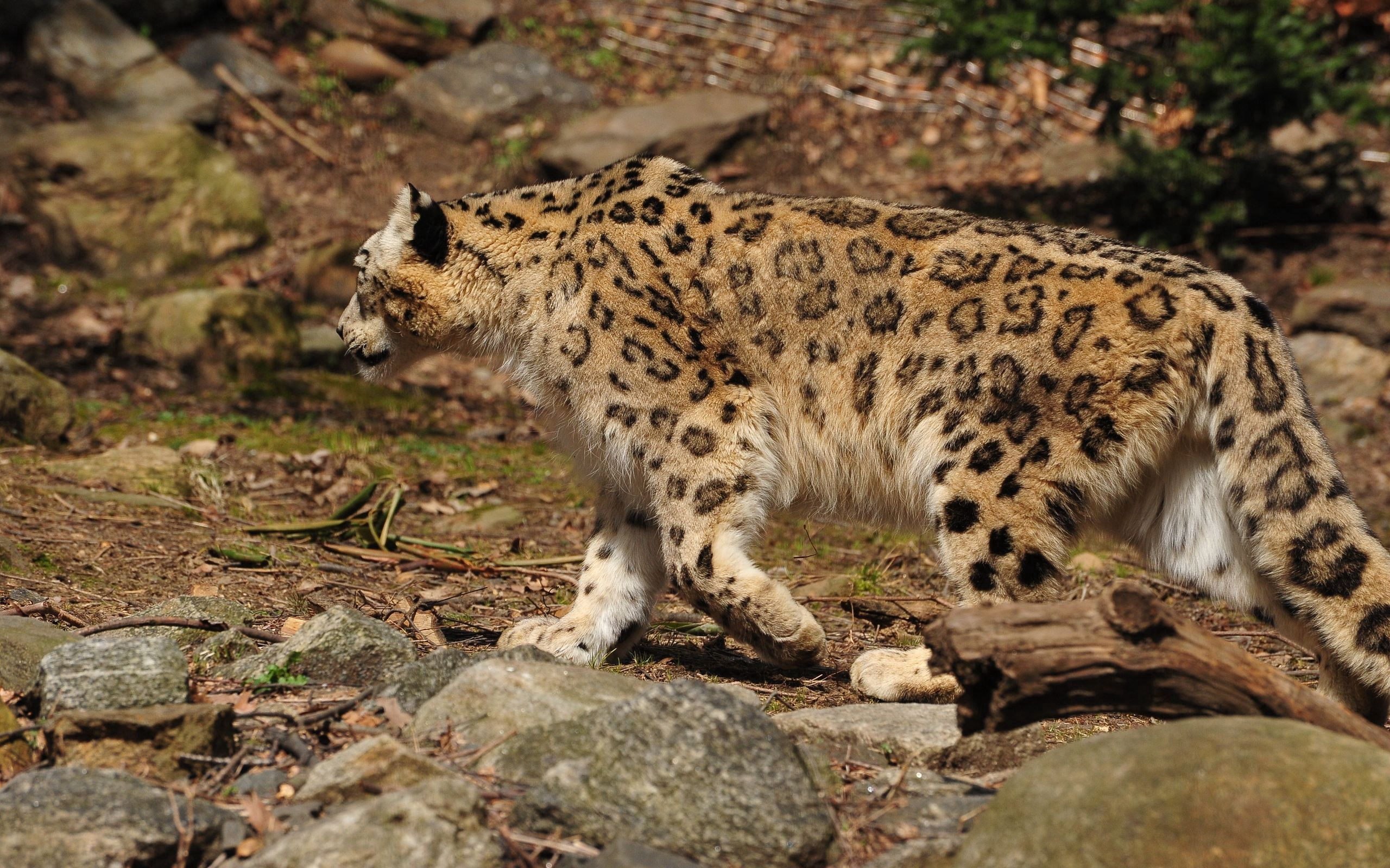 96496 download wallpaper Animals, Stroll, Predator, Big Cat, Snow Leopard screensavers and pictures for free
