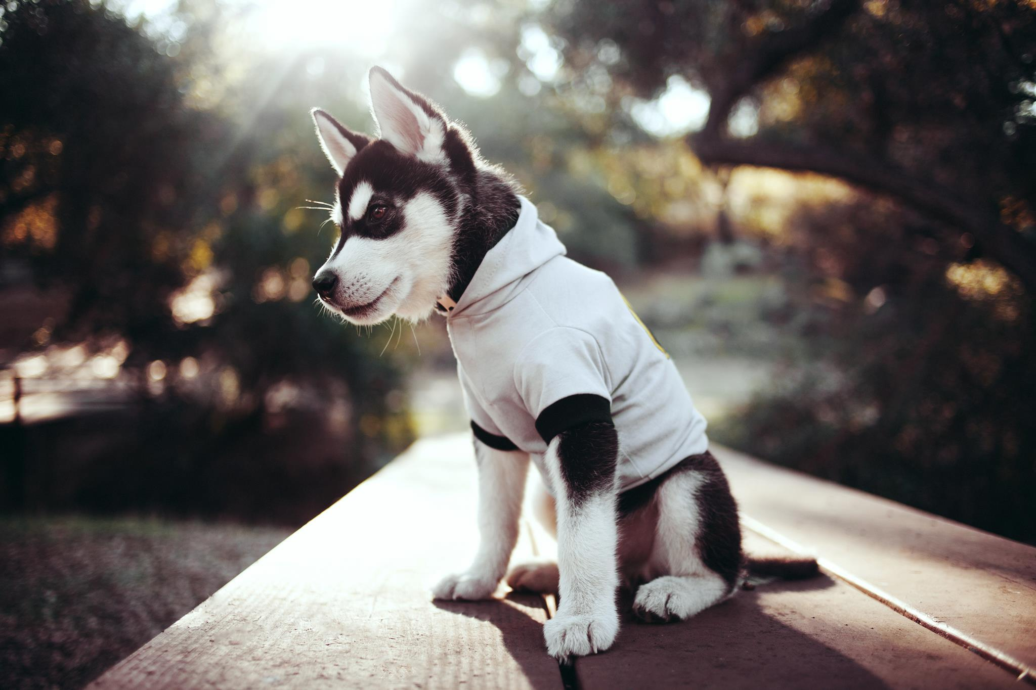 123783 Screensavers and Wallpapers Husky for phone. Download Animals, Muzzle, Puppy, Husky, Clothing pictures for free