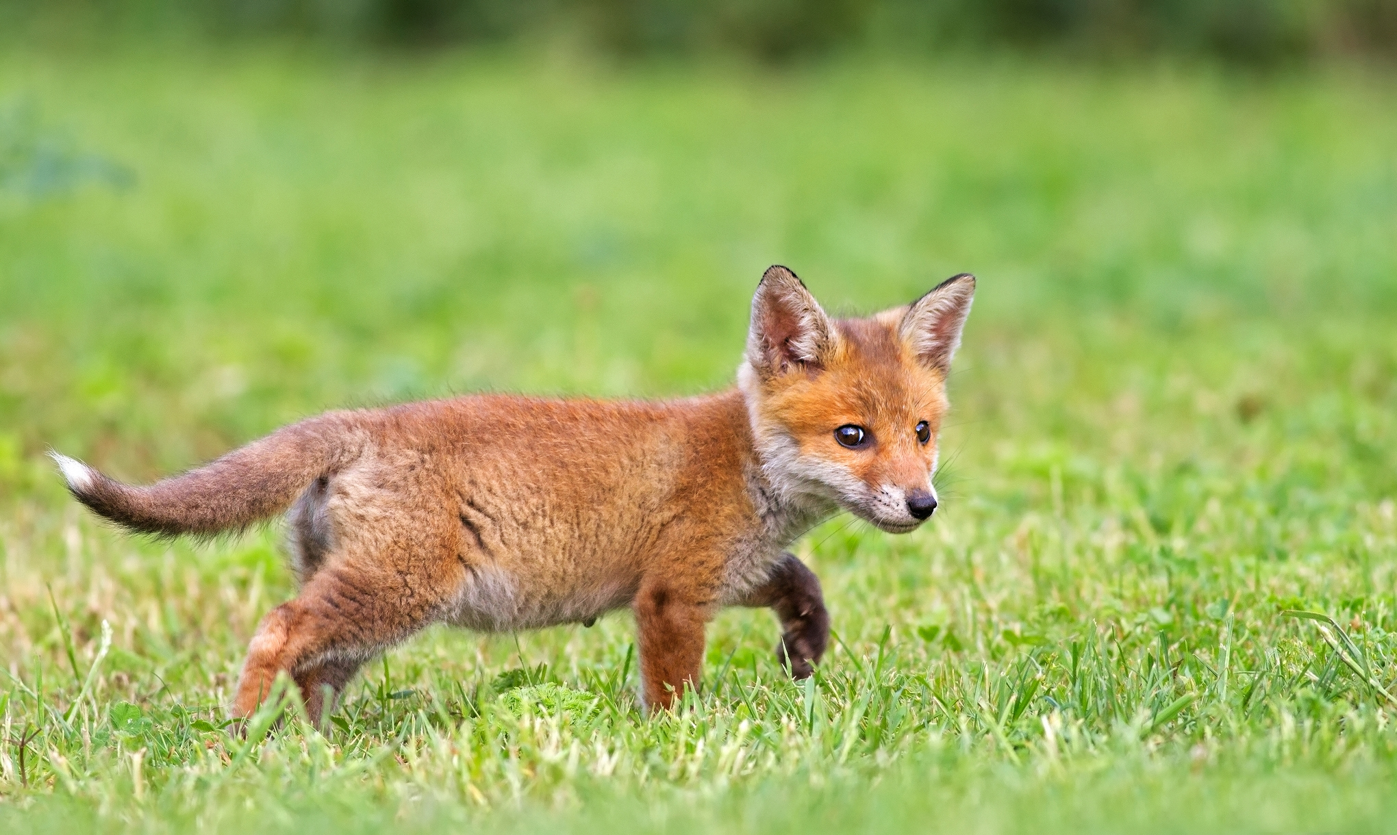 68434 Screensavers and Wallpapers Fox for phone. Download Animals, Grass, Fox pictures for free