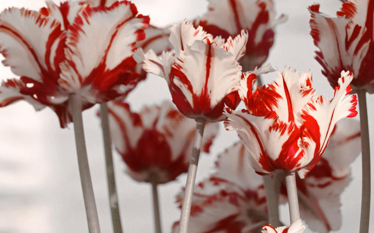 13801 скачать обои Растения, Цветы, Тюльпаны - заставки и картинки бесплатно