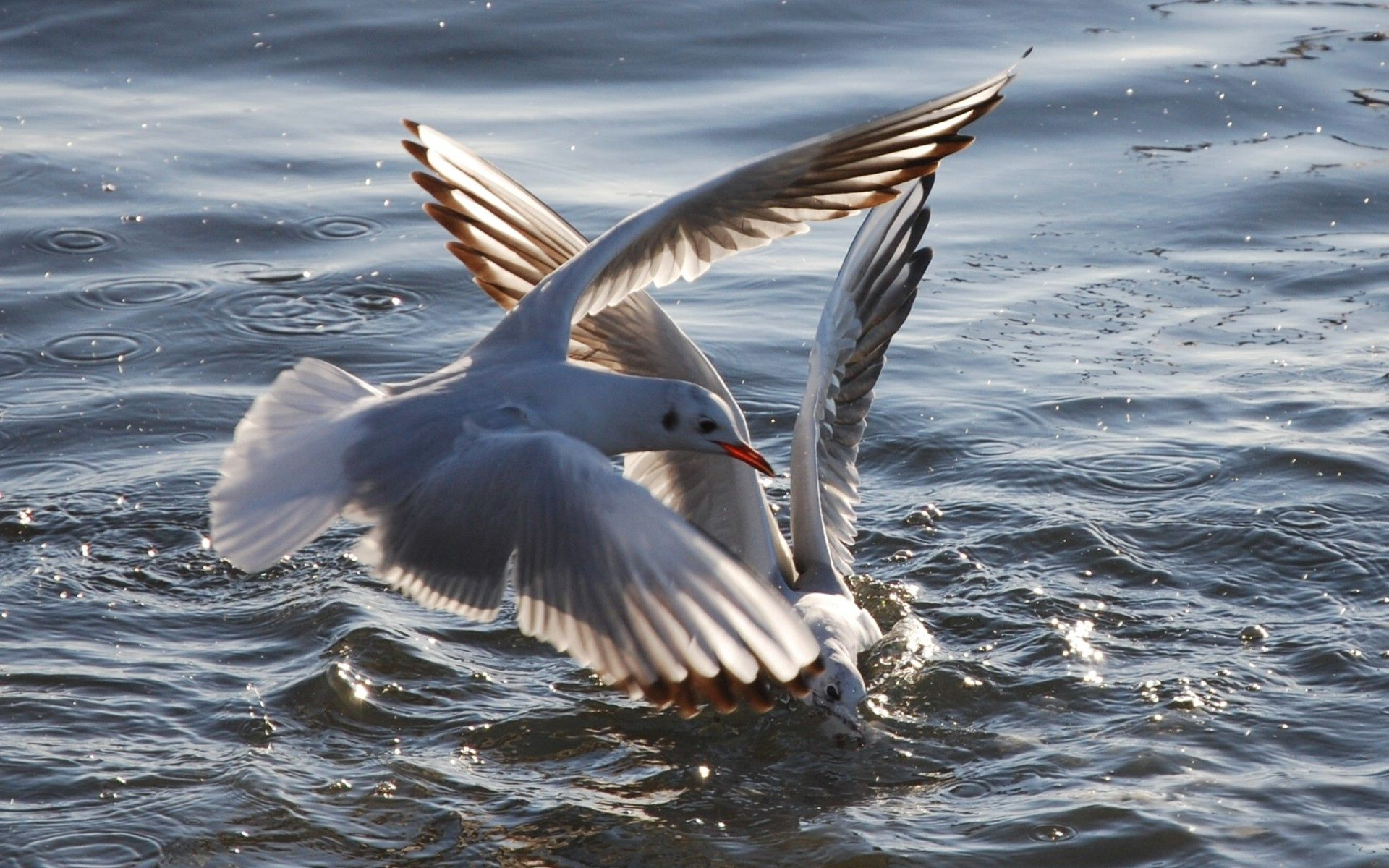 98716 download wallpaper Animals, Flight, Water, Sea, Birds, Seagulls screensavers and pictures for free