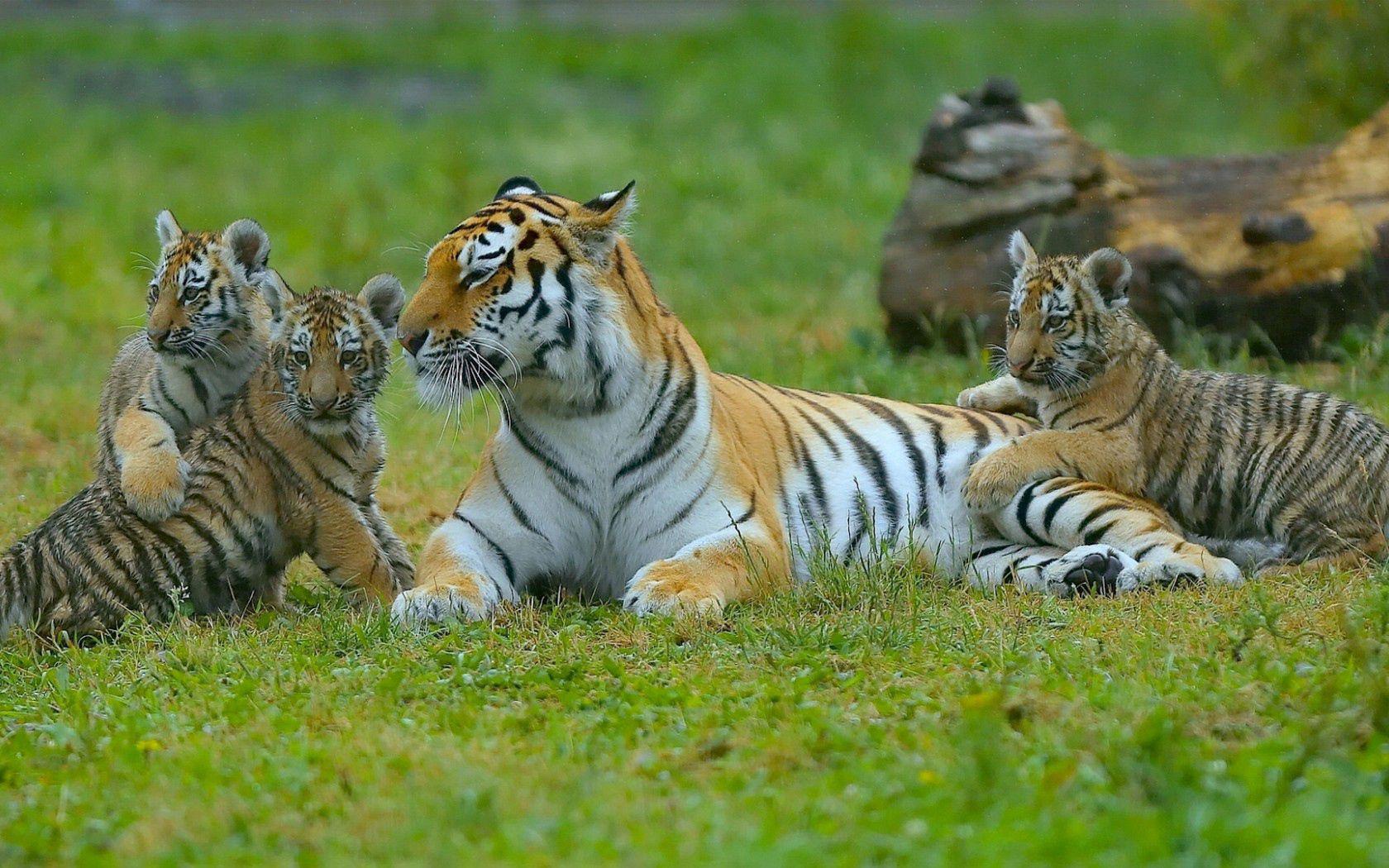 100553 Hintergrundbild herunterladen Tiere, Grass, Tigers, Sich Hinlegen, Liegen, Jungen, Jung, Raubtiere - Bildschirmschoner und Bilder kostenlos