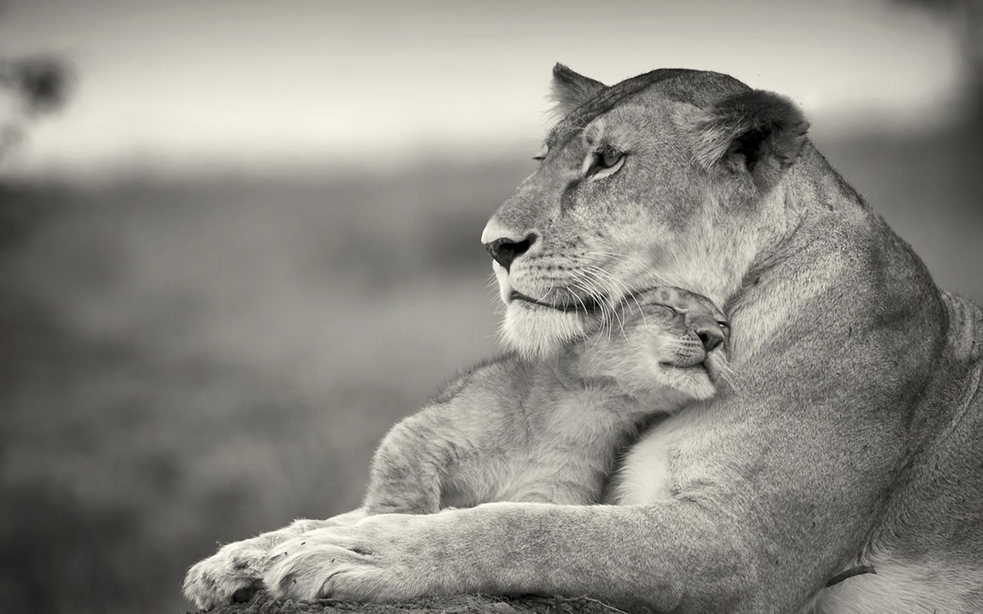 102381 download wallpaper Animals, Lioness, Lion Cub, Lion, Grey, Animal, Family screensavers and pictures for free