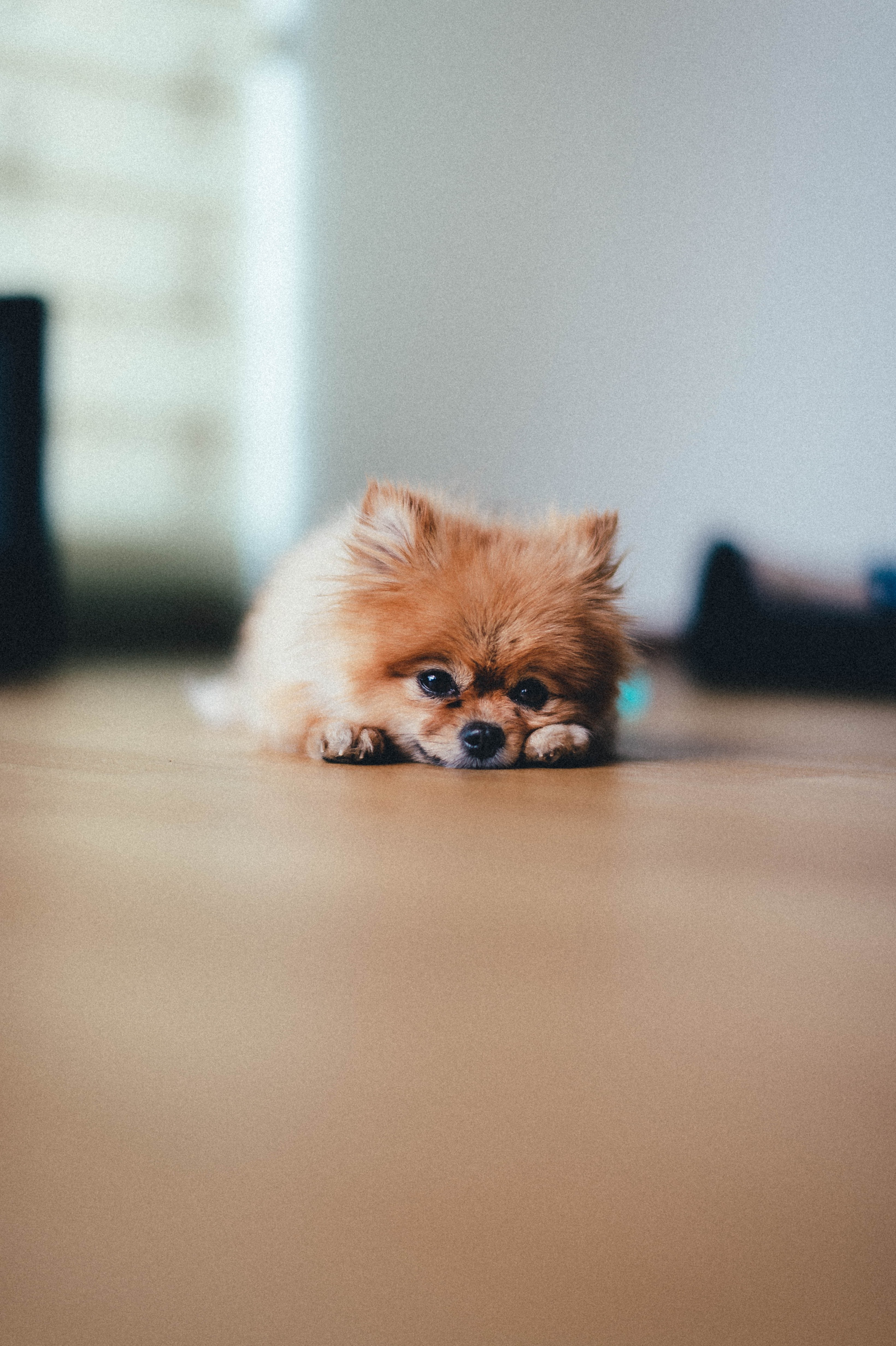 152654 Screensavers and Wallpapers Pet for phone. Download Animals, Pomeranian, Pomeranian Spitz, Dog, Animal, Pet, Brown pictures for free