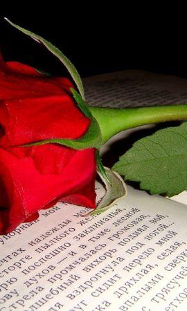 2690 скачать обои Растения, Цветы, Розы - заставки и картинки бесплатно