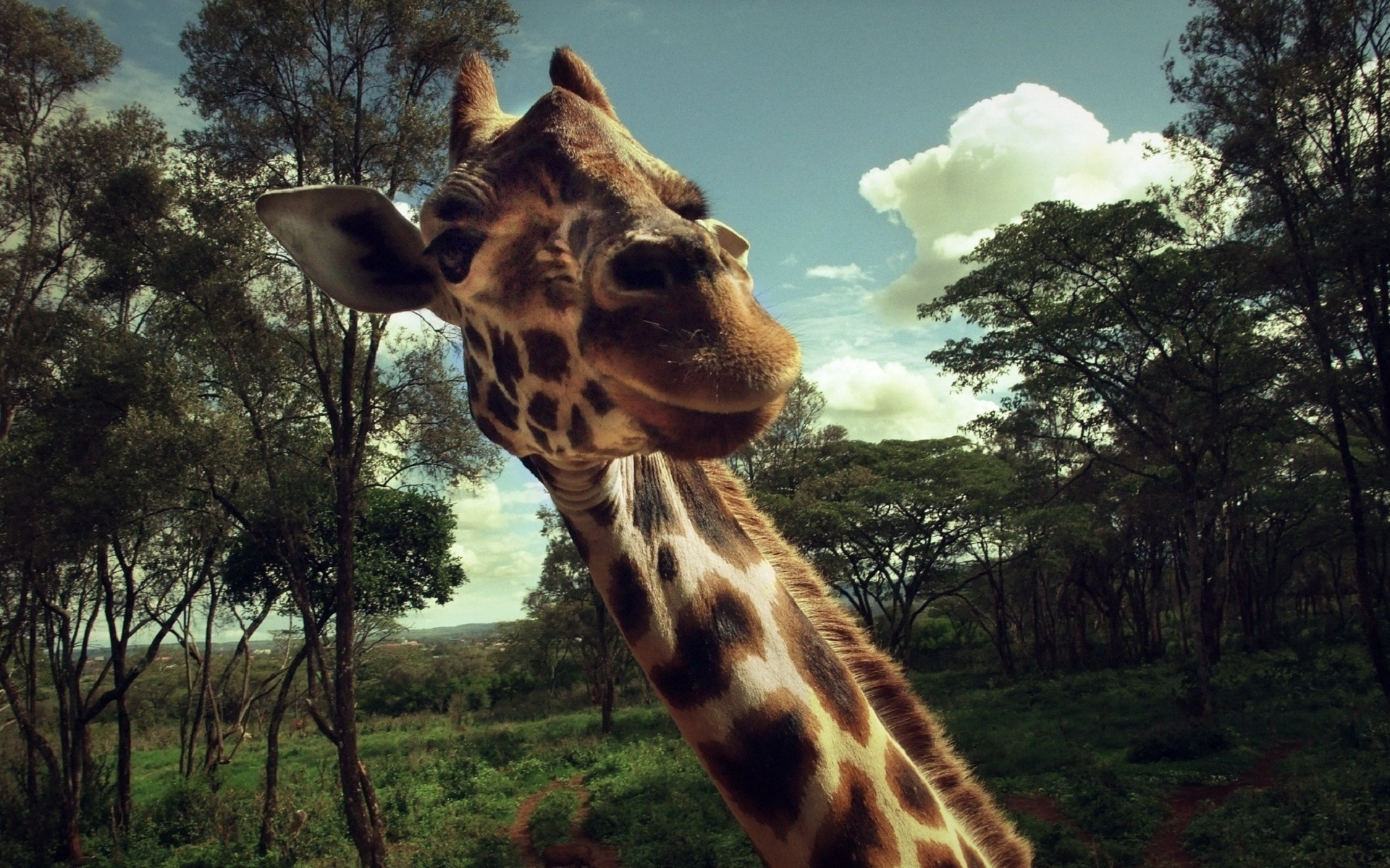 40792 download wallpaper Animals, Giraffes screensavers and pictures for free