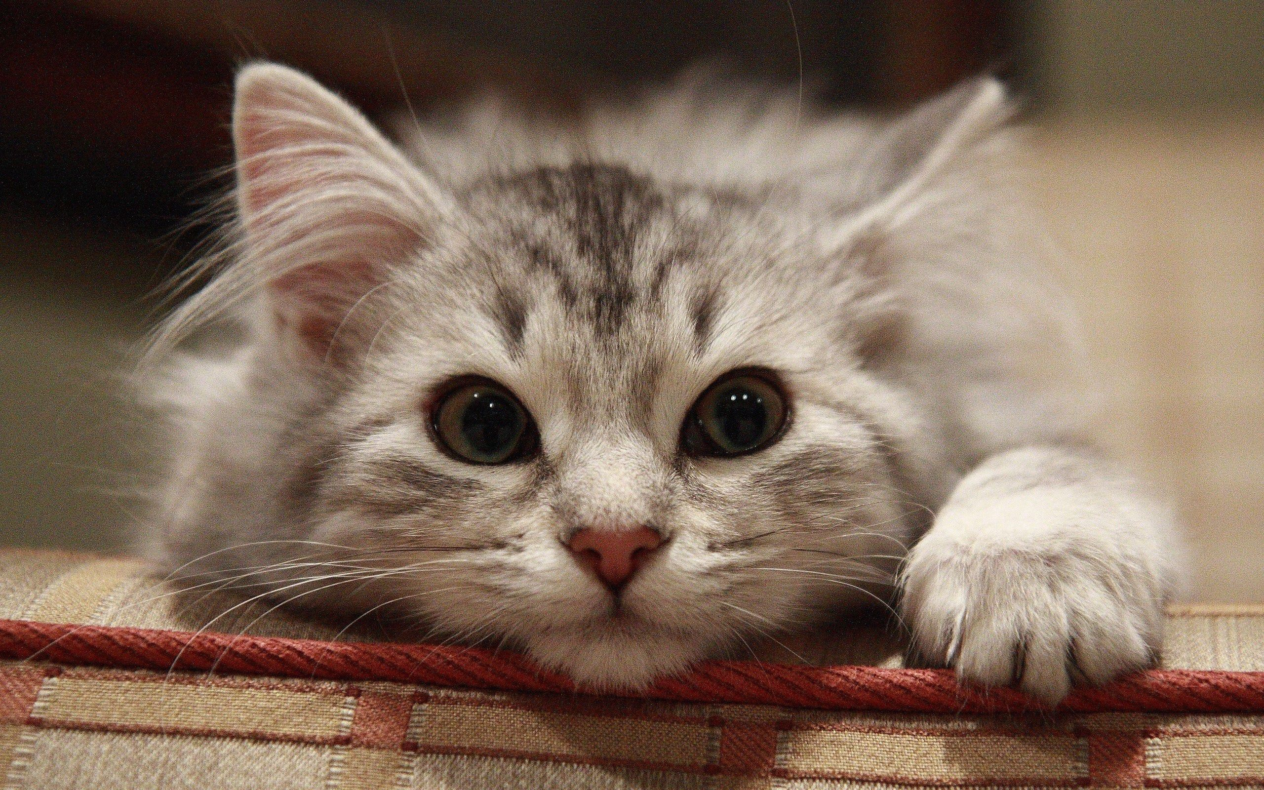 Download mobile wallpaper Animals, Muzzle, Beautiful Cat, Cat, Fluffy for free.