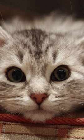 155586 download wallpaper Animals, Beautiful Cat, Cat, Muzzle, Fluffy screensavers and pictures for free