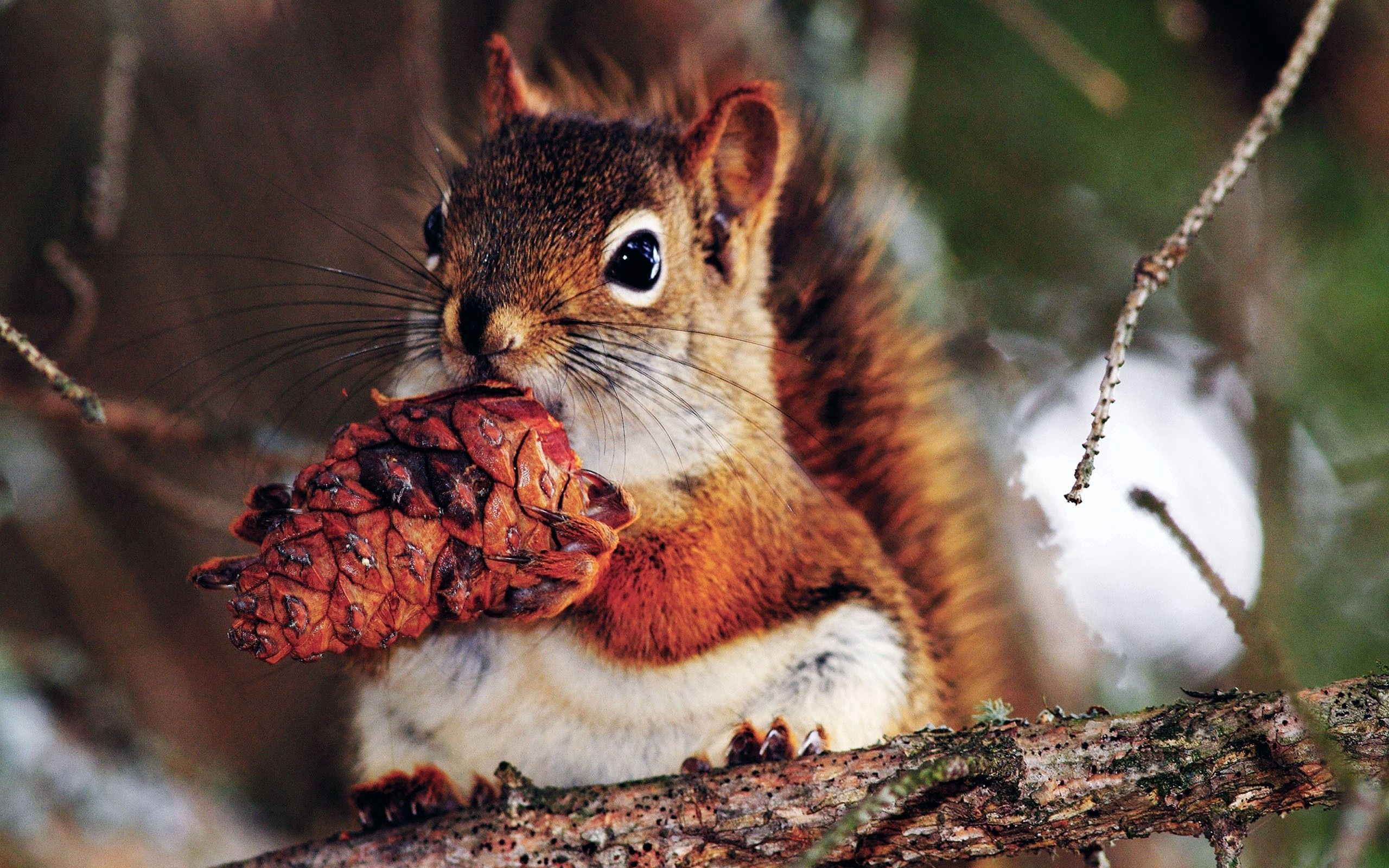 60829 Screensavers and Wallpapers Squirrel for phone. Download Animals, Squirrel, Food, Branches, Nut pictures for free