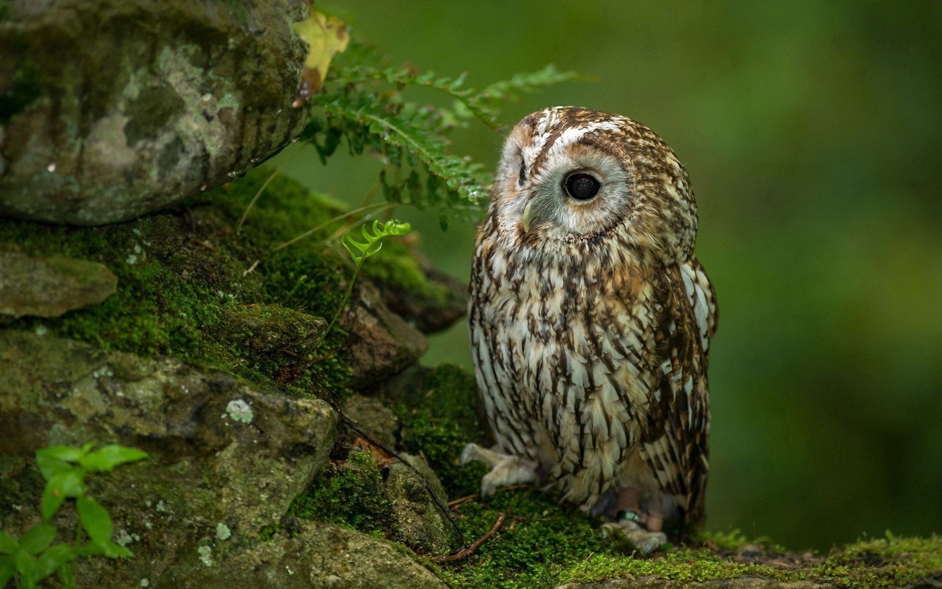 103924 download wallpaper Animals, Owl, Bird, Predator, Grass, Sit, Hunting, Hunt, Expectation, Waiting, Moss, Stones screensavers and pictures for free