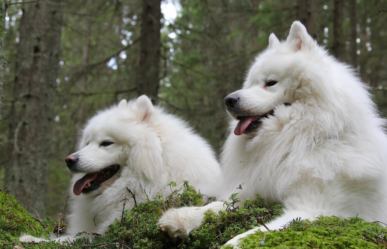 80727 Hintergrundbild herunterladen Tiere, Hunde, Paar, Kind, Laika, Samojede Hund, Der Hund Des Jahres, Samojede, Soyed - Bildschirmschoner und Bilder kostenlos