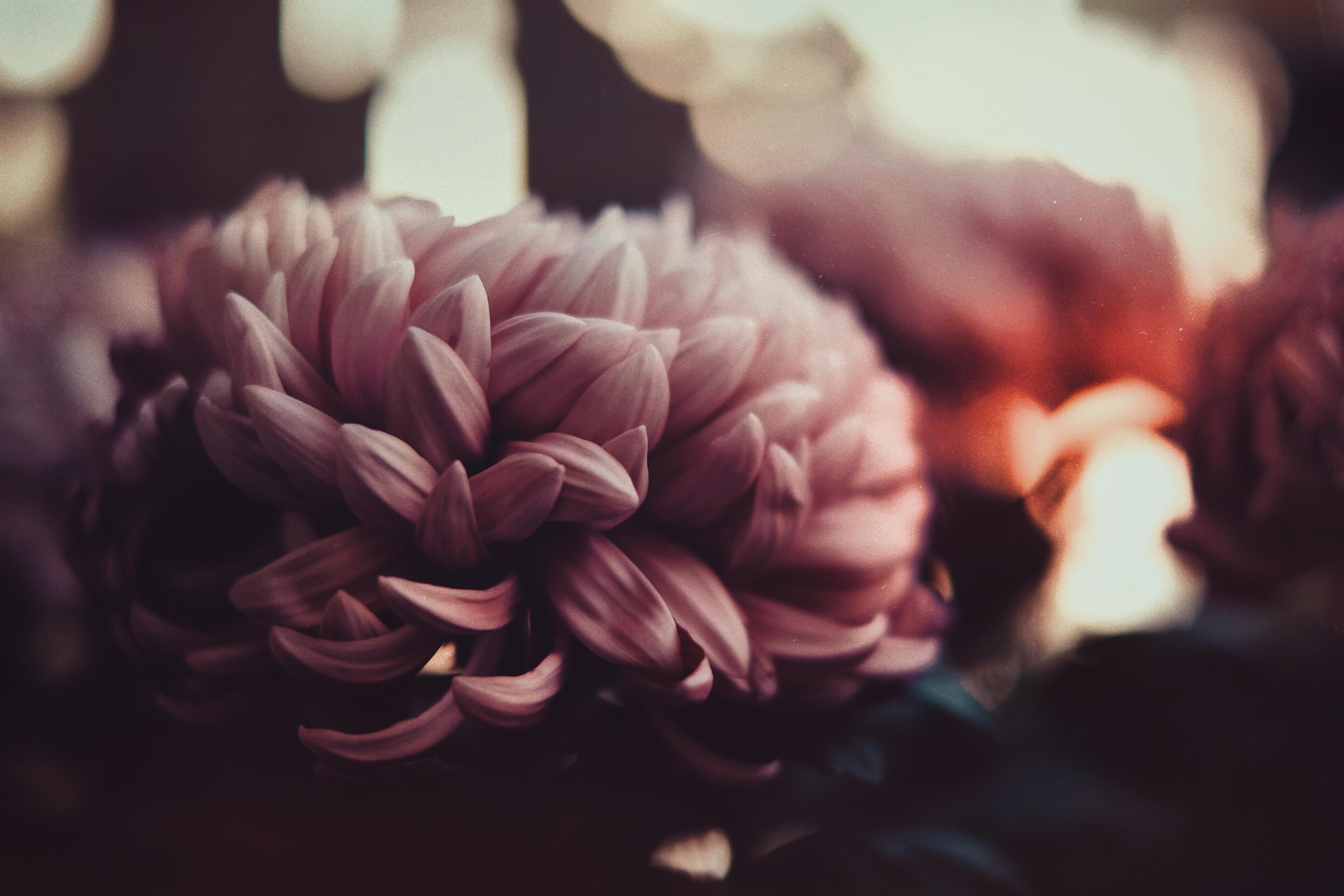 105432 скачать обои Цветы, Пионы, Лепестки, Размытость - заставки и картинки бесплатно